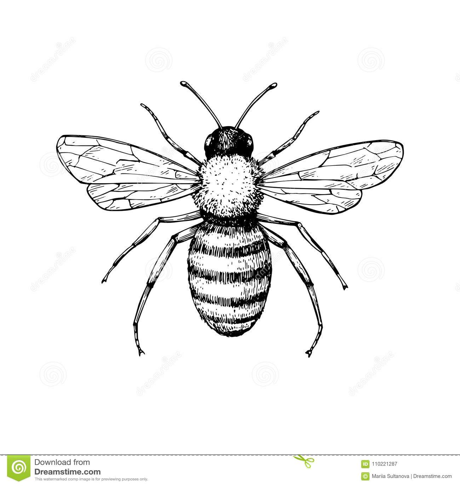 Чертеж вектора пчелы меда винтажный Нарисованное рукой изолированное ske насекомого