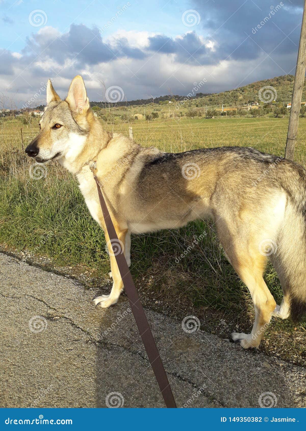 Чехословацкая собака волка