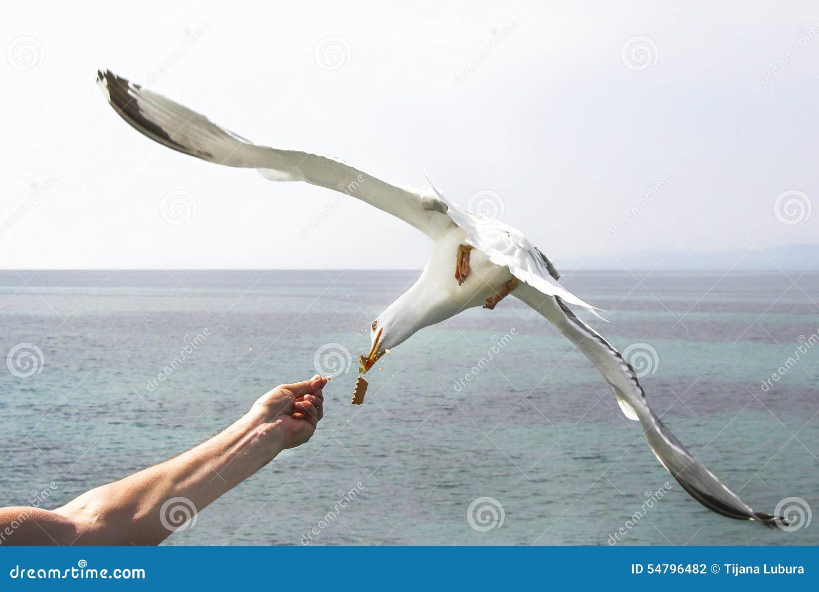человек чайка