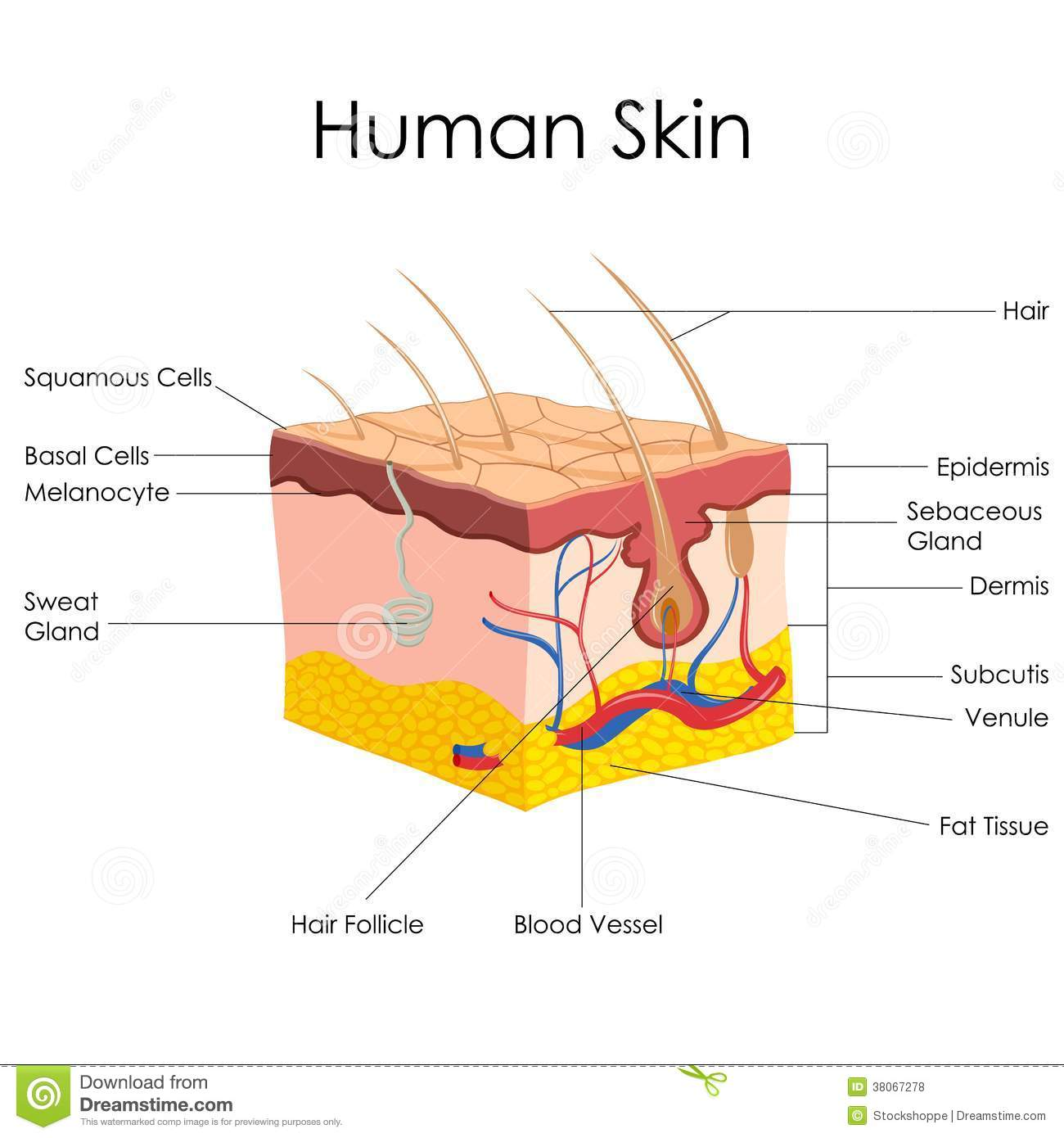 Famous Anatomy Of The Skin Layers Collection - Anatomy and ...