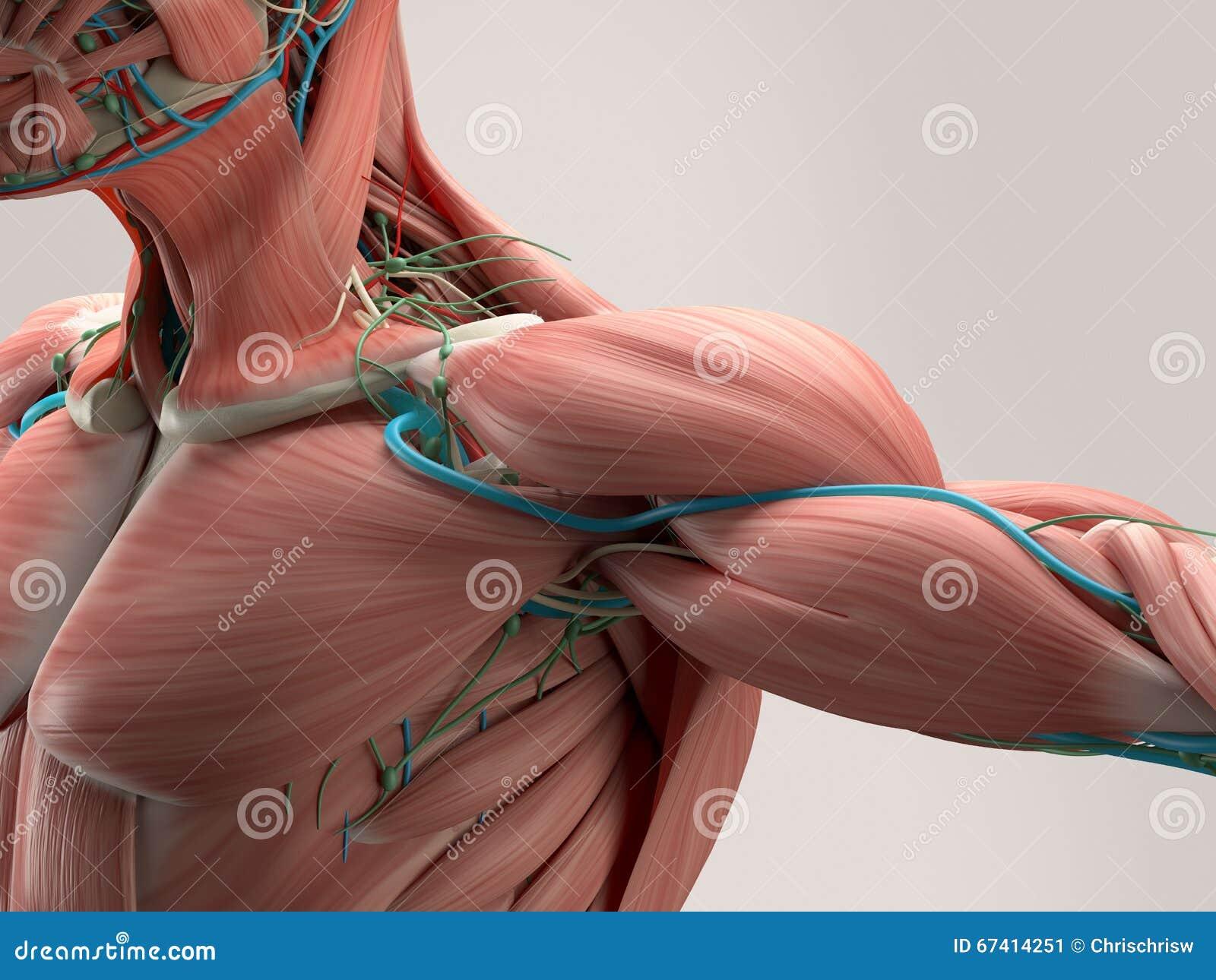 Человеческая деталь анатомии плеча Мышца, артерии на простой предпосылке студии