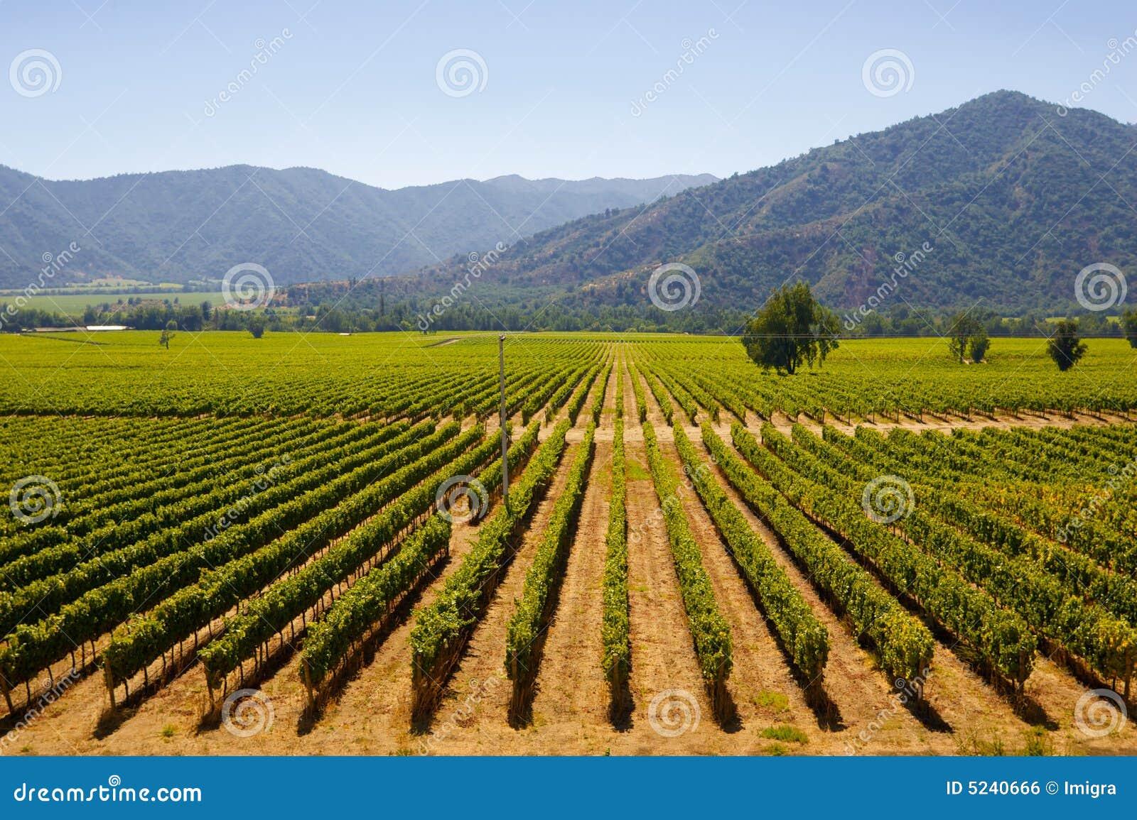 чилийские виноградники