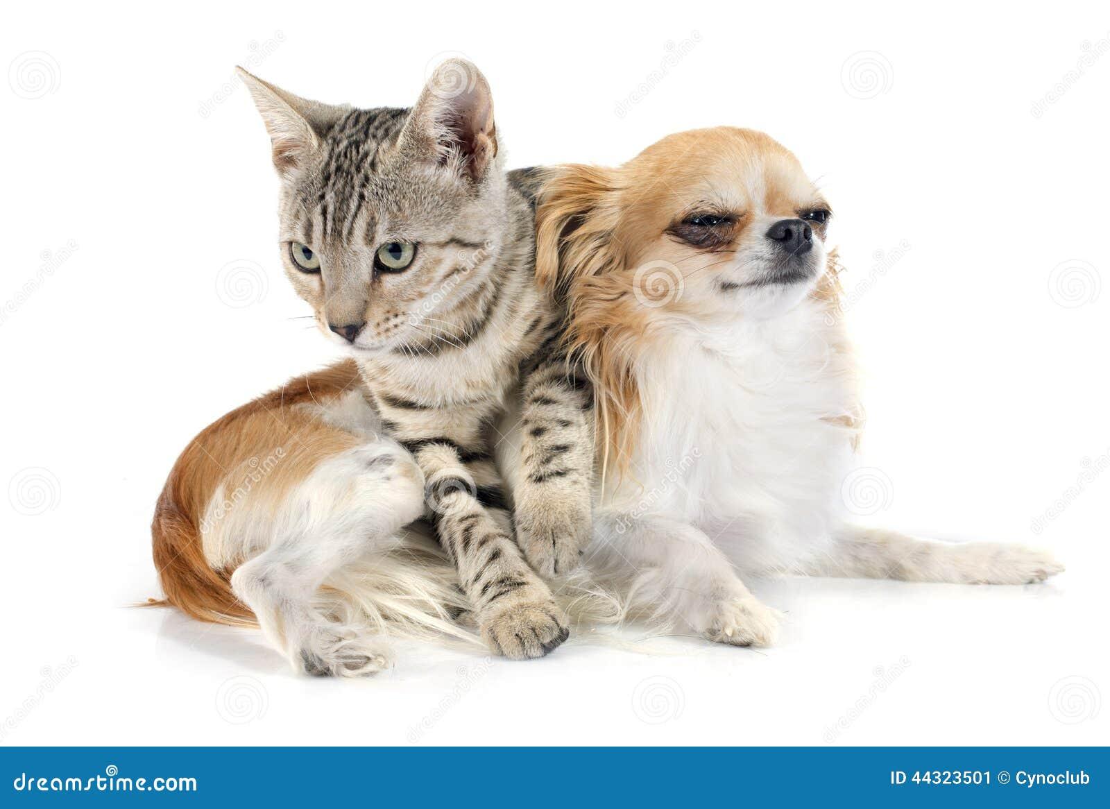Чихуахуа и знакомство кошки