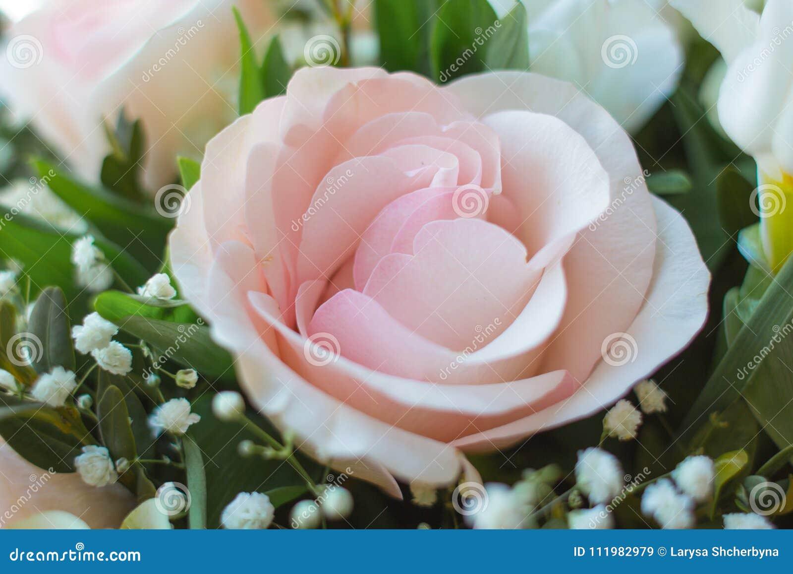 Чувствительные лепестки розового подняли