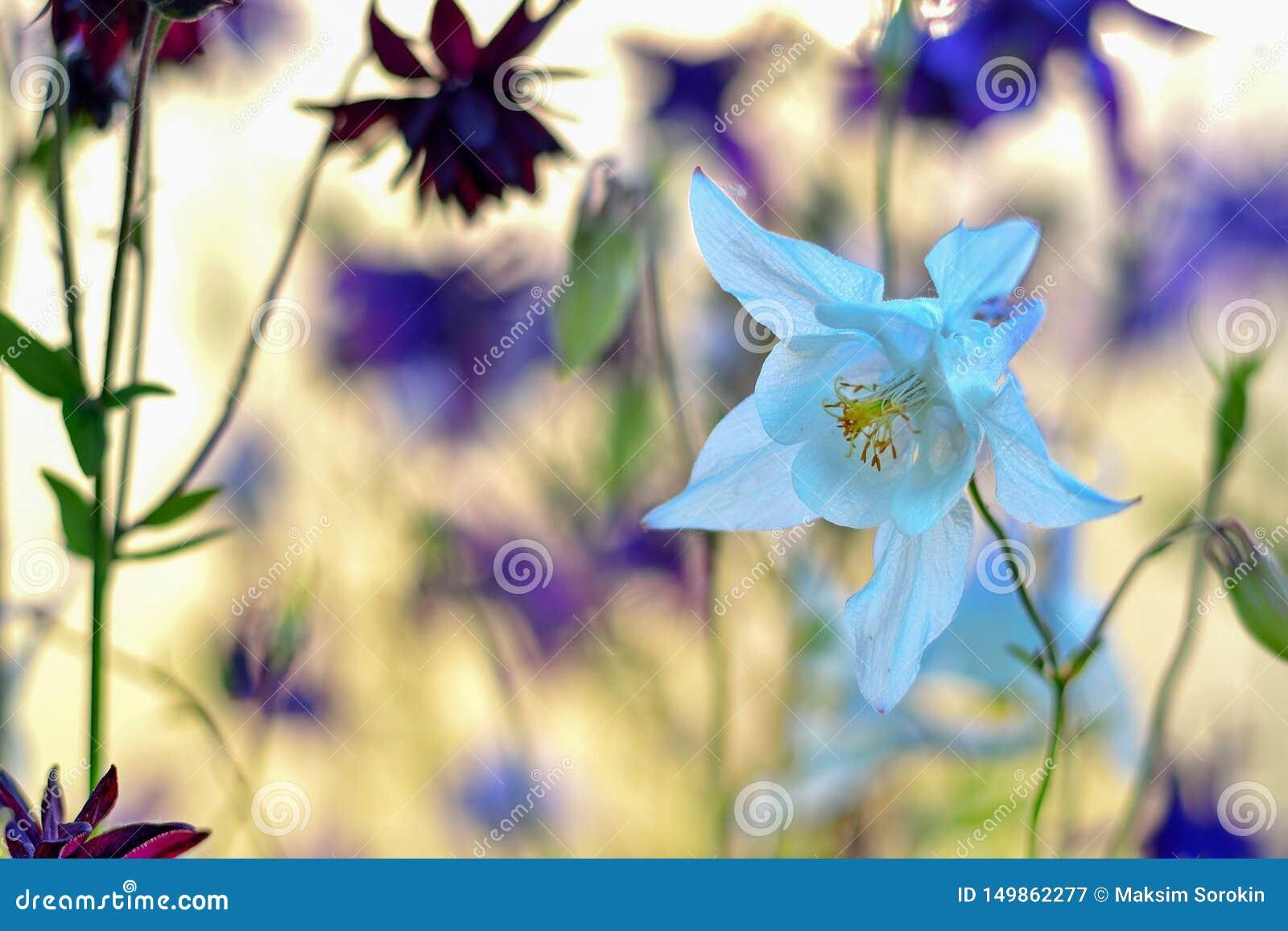 Чувствительный белый цветок Aquilegia на красивой расплывчатой предпосылке