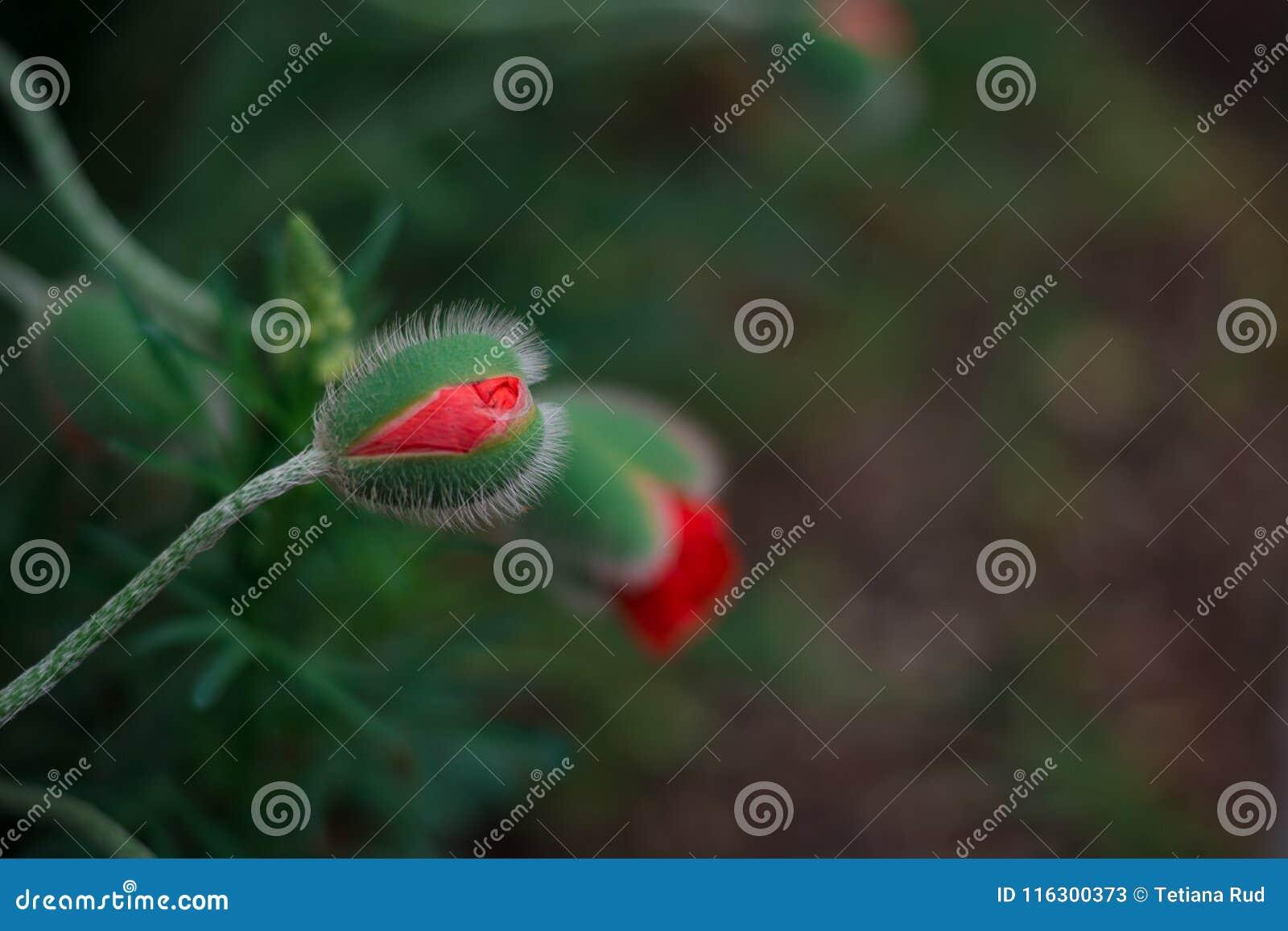 Чувствительный пушистый мак отпочковывается в поле на природе в солнечном свете на салатовом макросе предпосылки Предпосылка лета