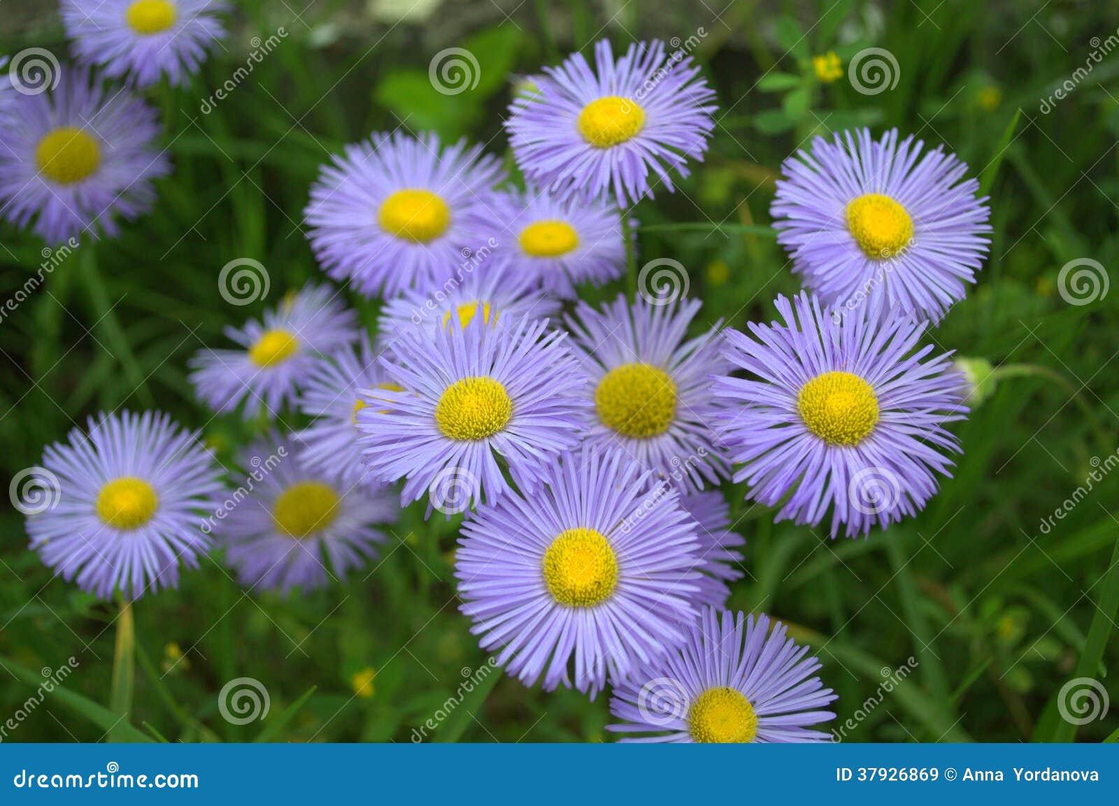 Чувствительные голубые цветки (Erigeron)