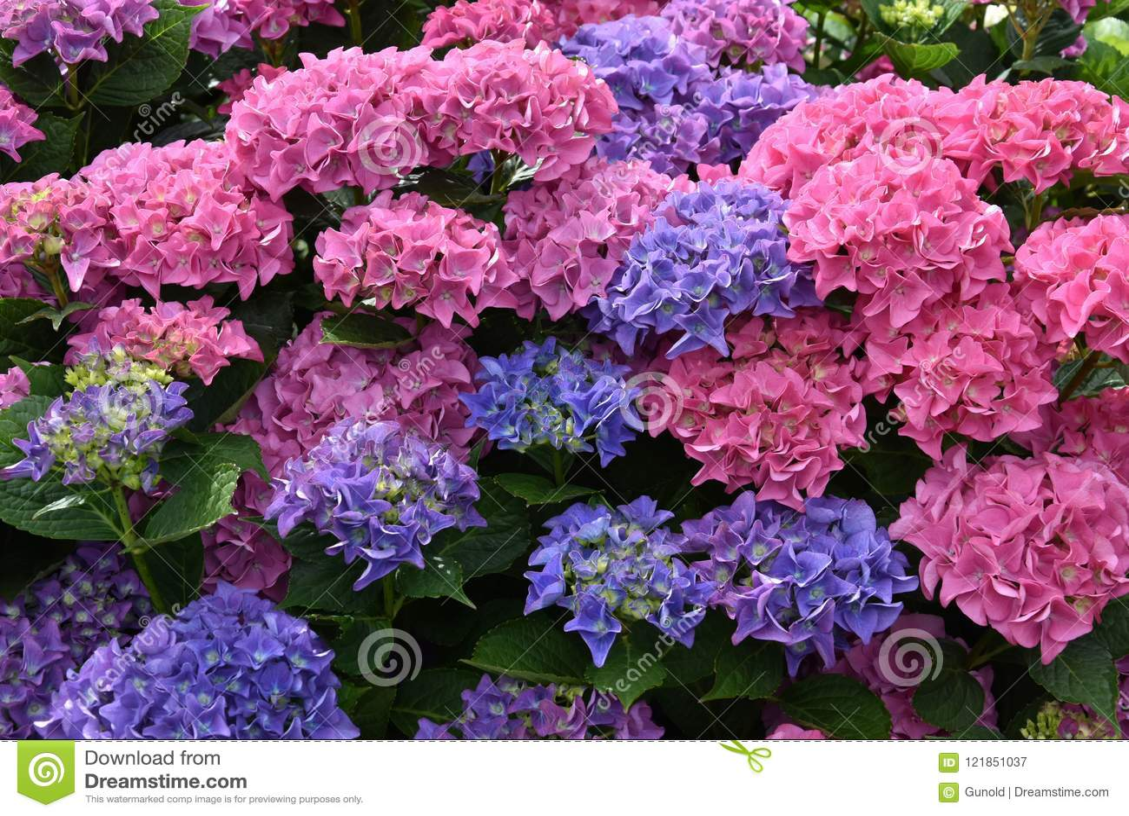Чудесные голубые и розовые цветки гортензии