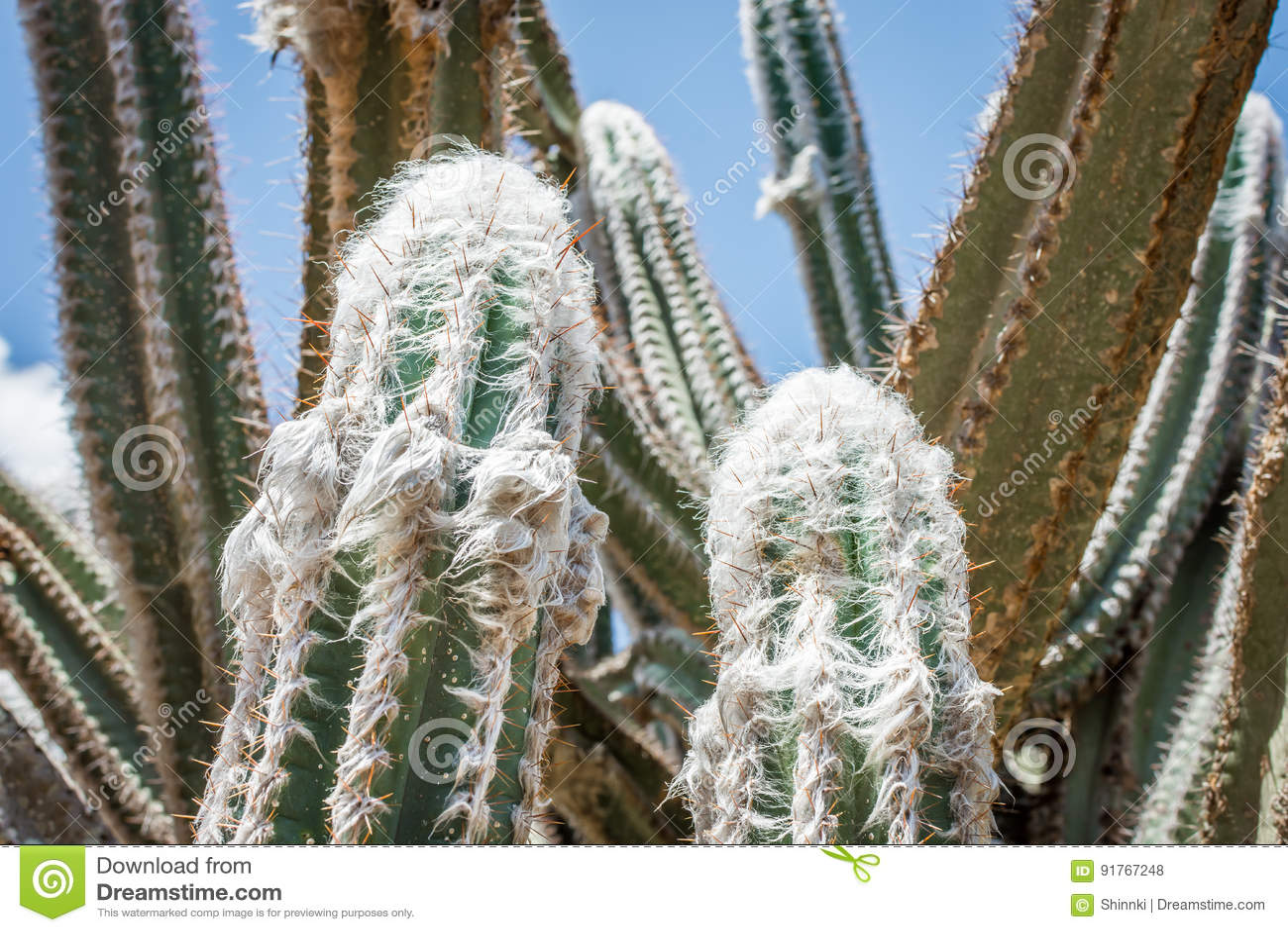 Шерстистый кактус факела