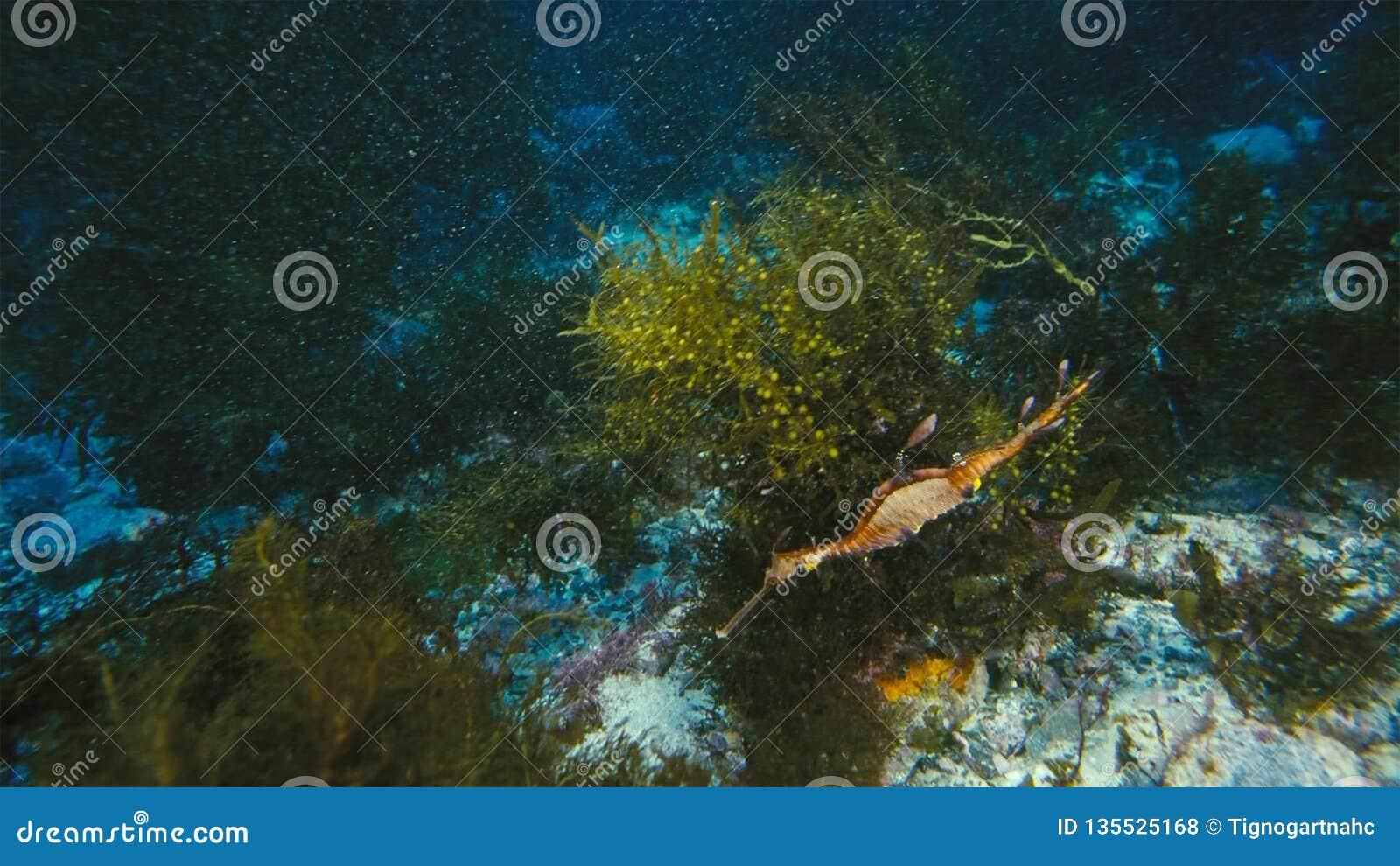 Шикарное густолиственное Seadragon закамуфлированное как морская водоросль