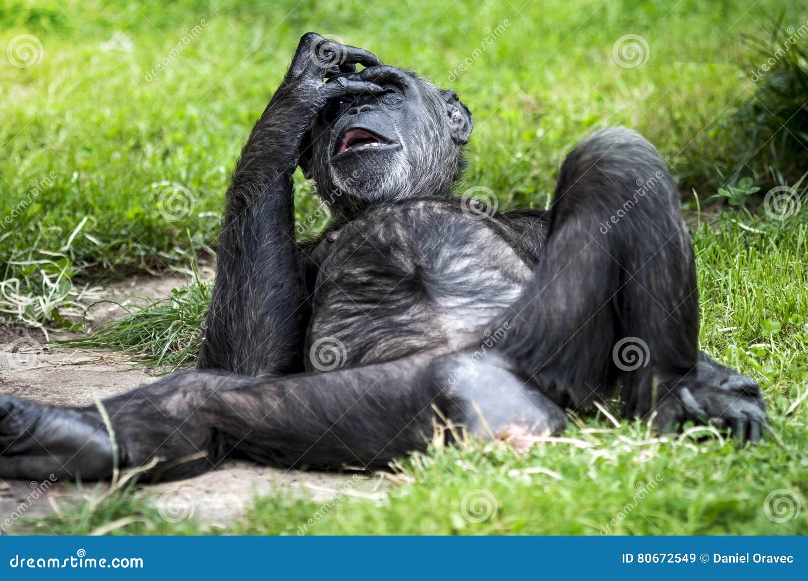 Шимпанзе - портрет Troglodytes лотка