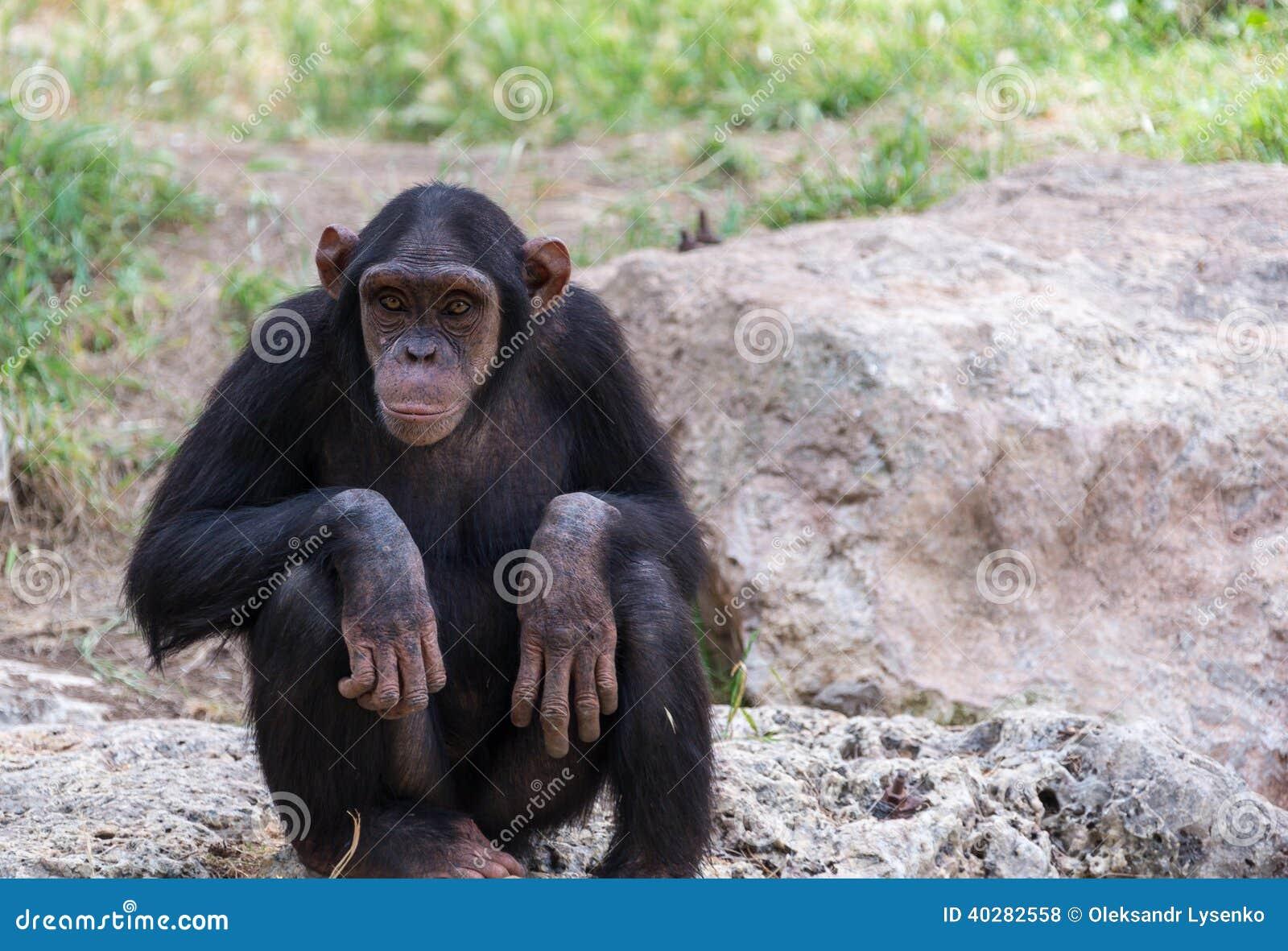 Шимпанзе сидя на камнях