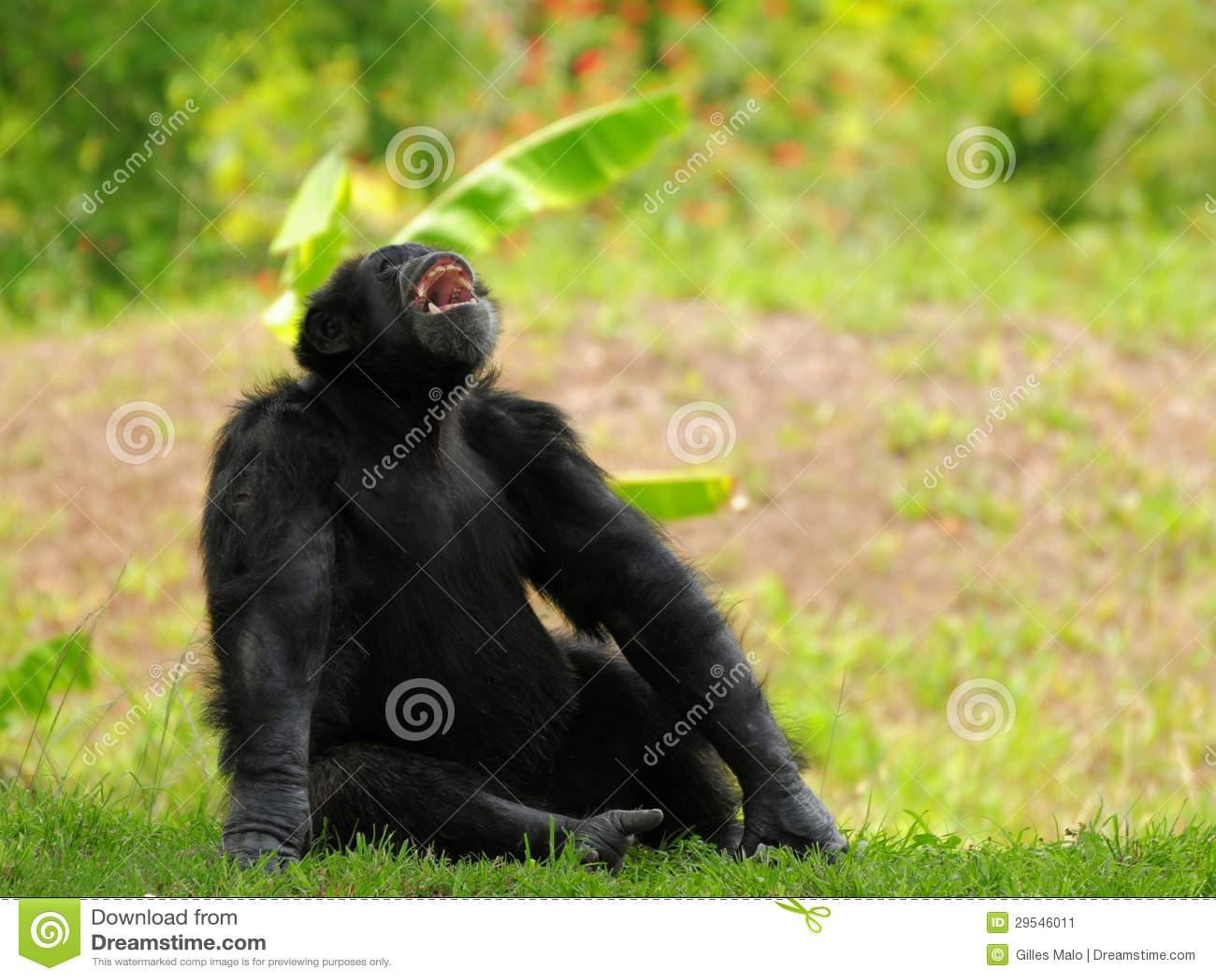 Шимпанзе с ртом открытым