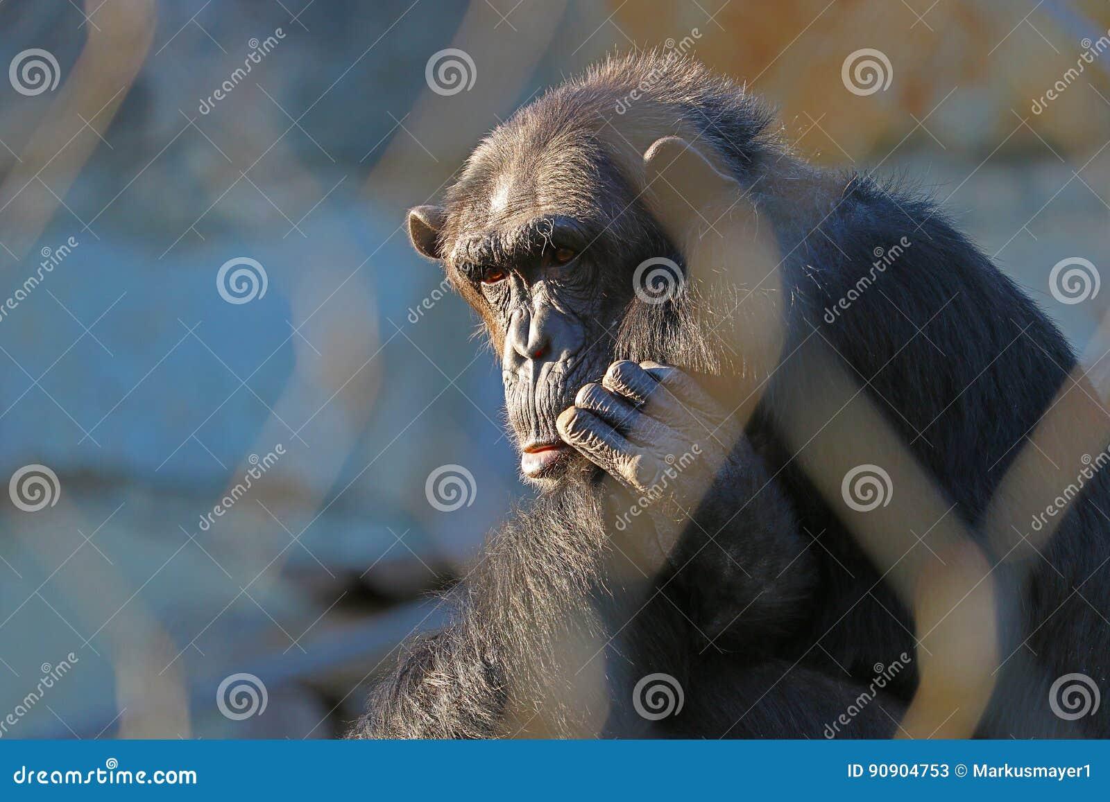 шимпанзе унылый