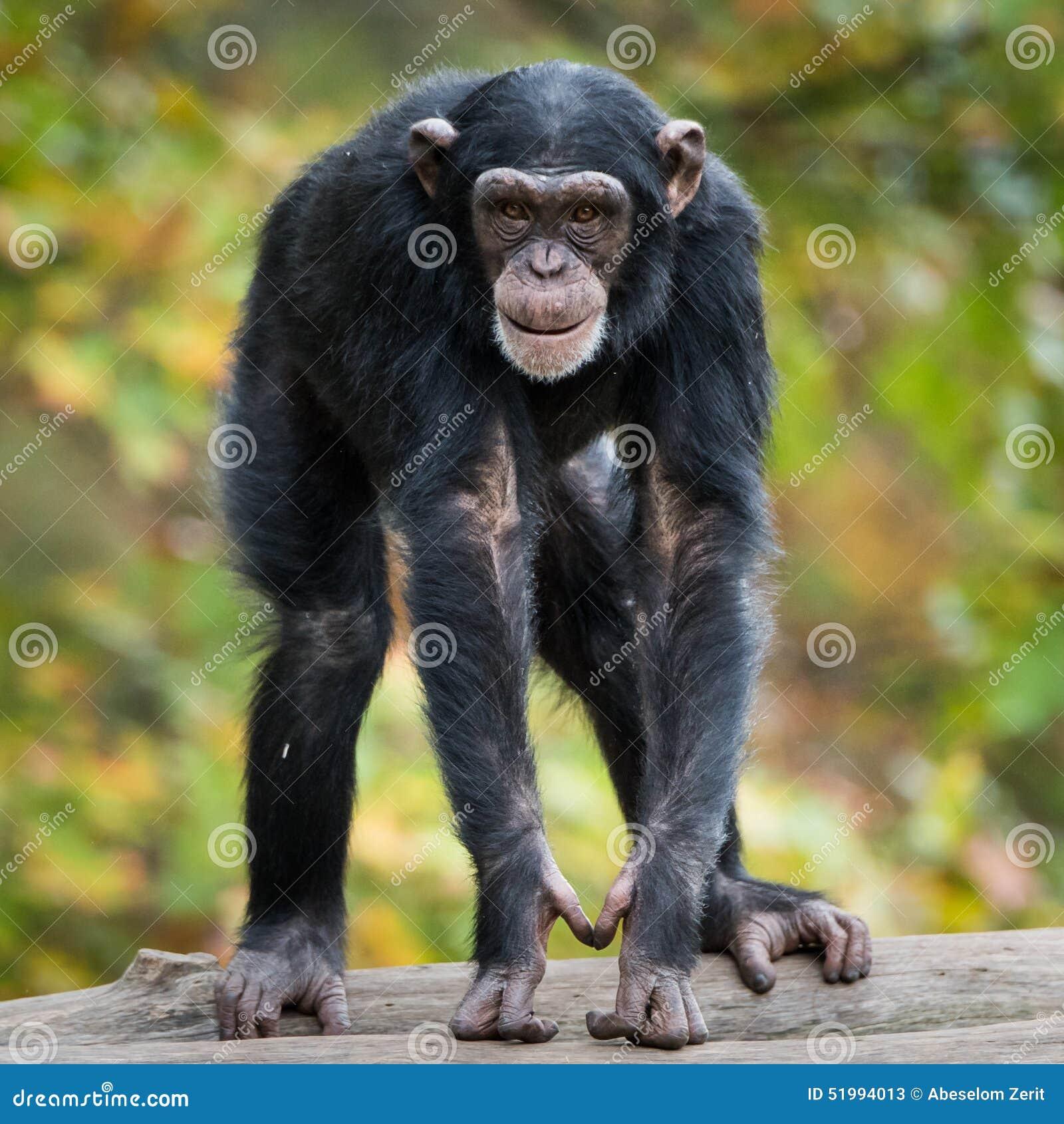 Шимпанзе XII