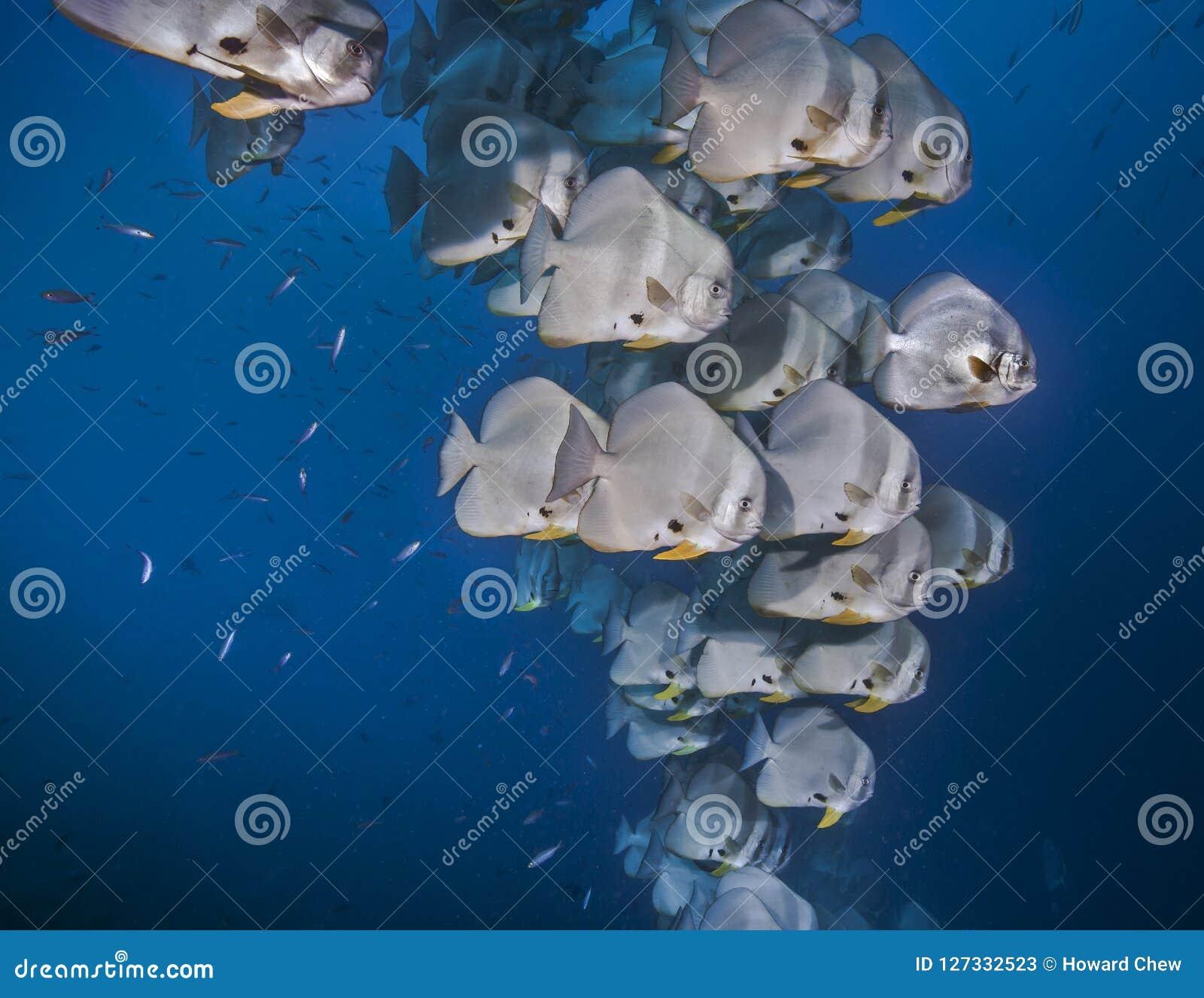 Школа batfish в открытом море