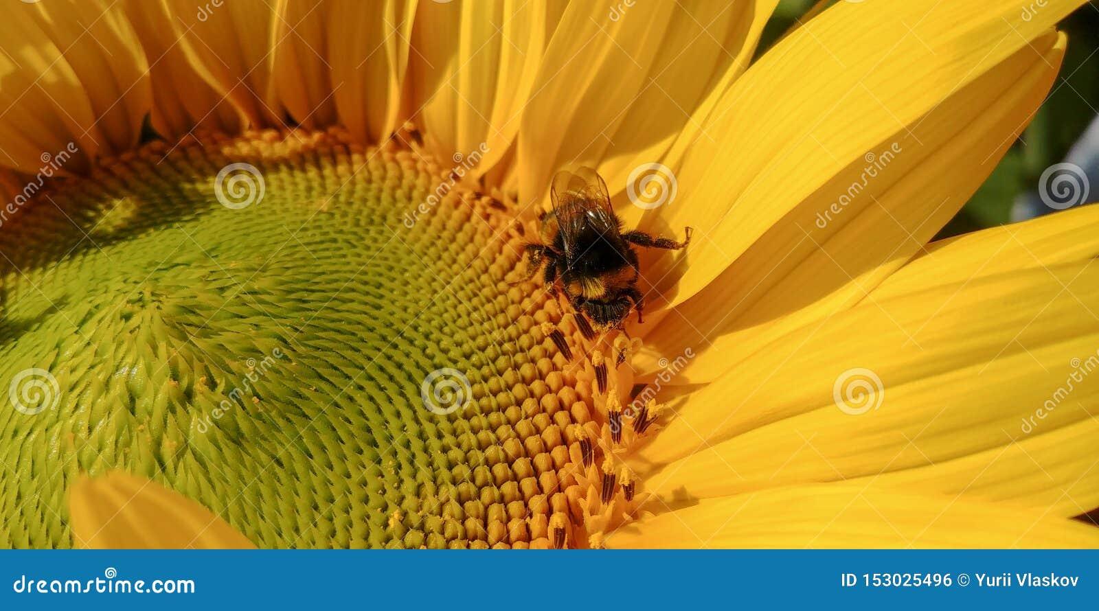 Шмель опыляет яркий солнцецвет в солнечном дне