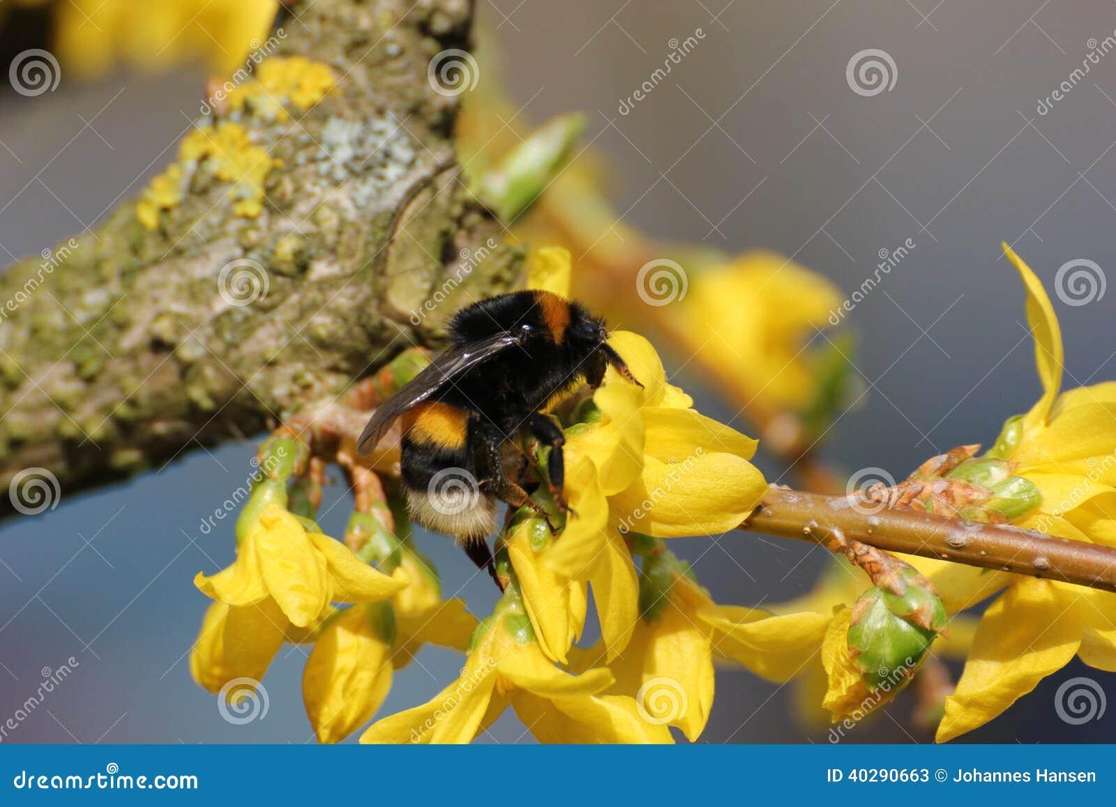 Шмель на желтом цветени