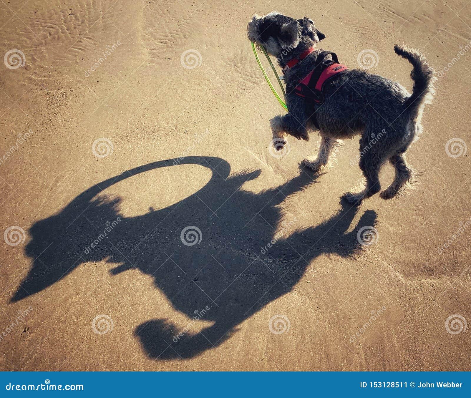 Шнауцер на пляже играя с обручем frisbee