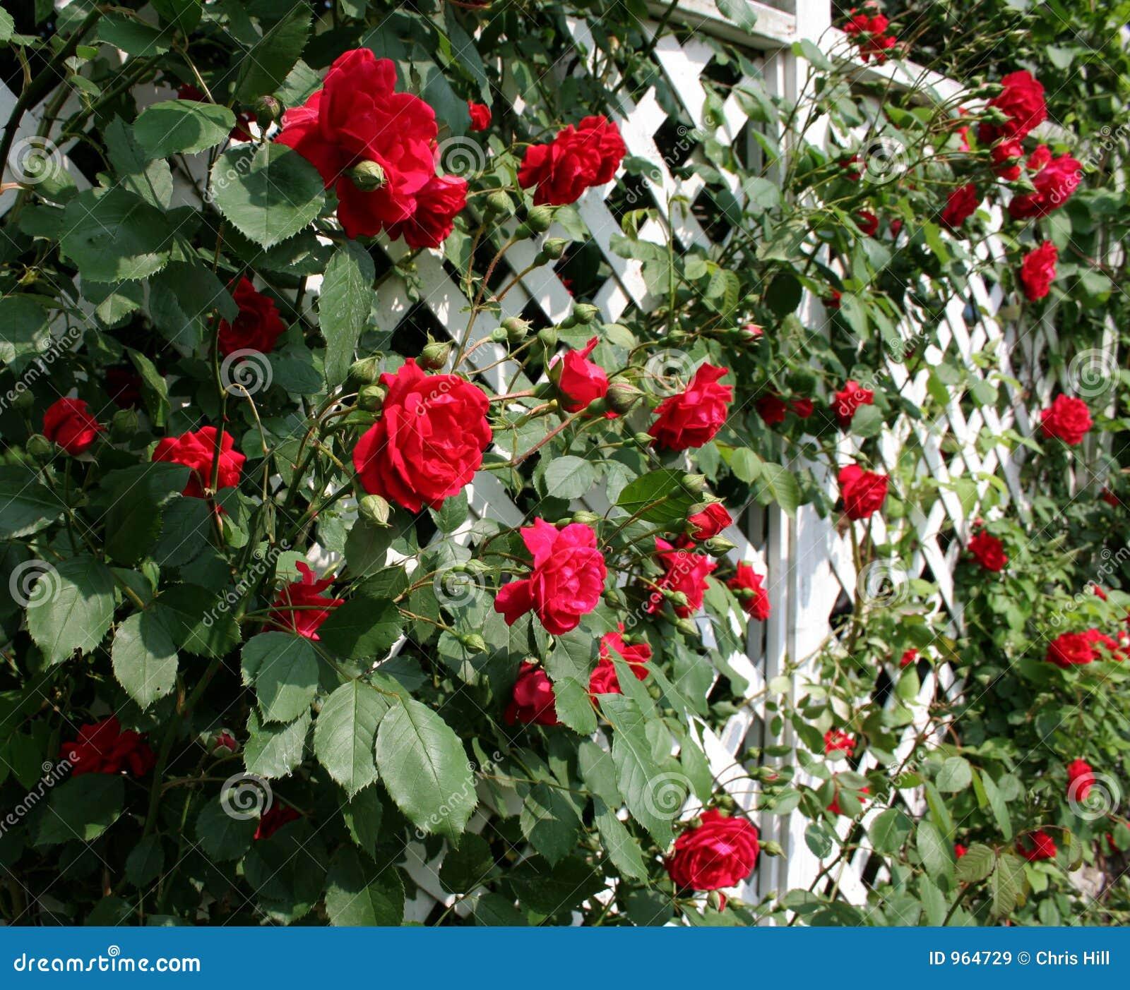 Решетка для плетистой розы своими руками