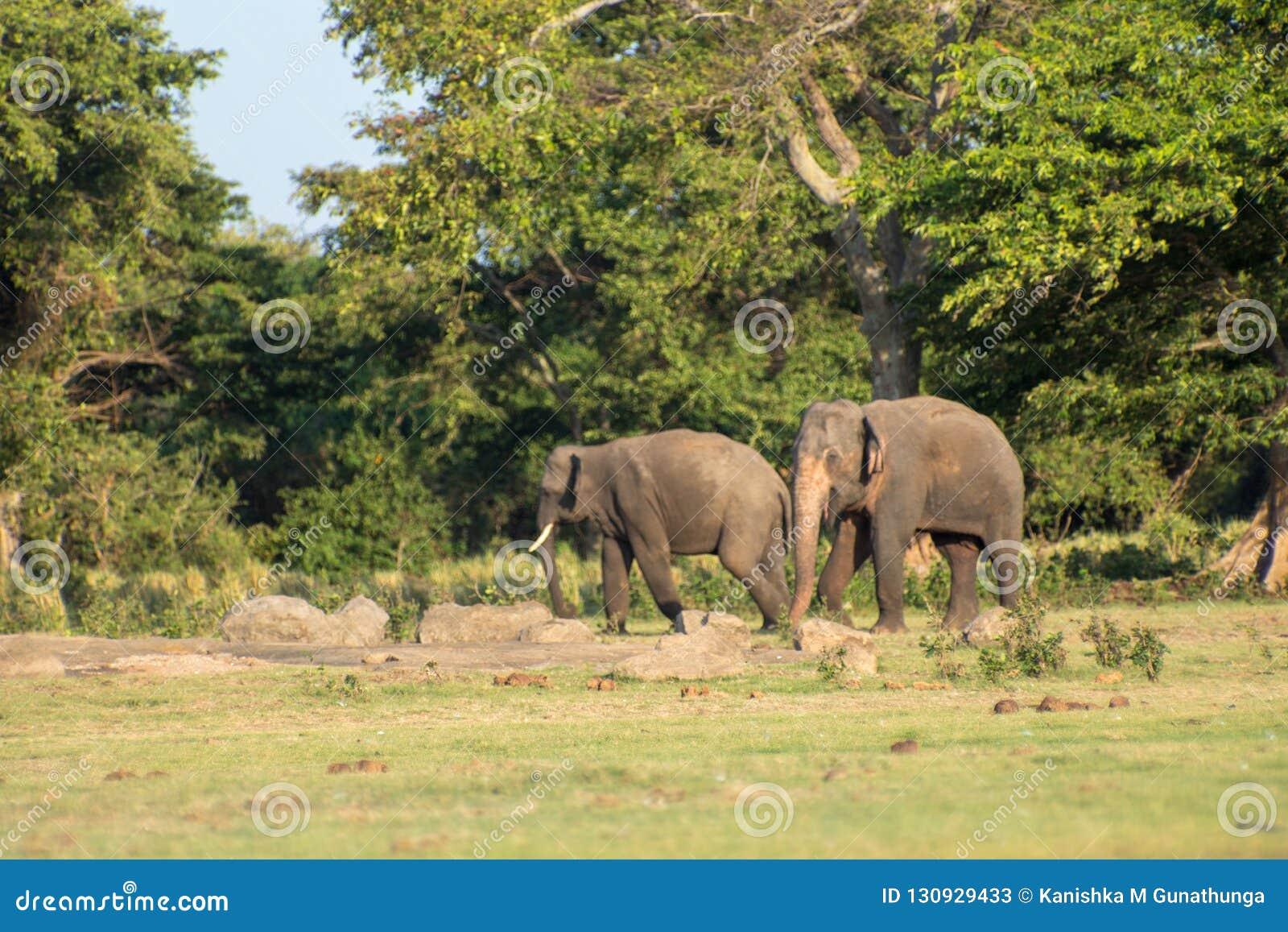 Шриланкийск слон в диком