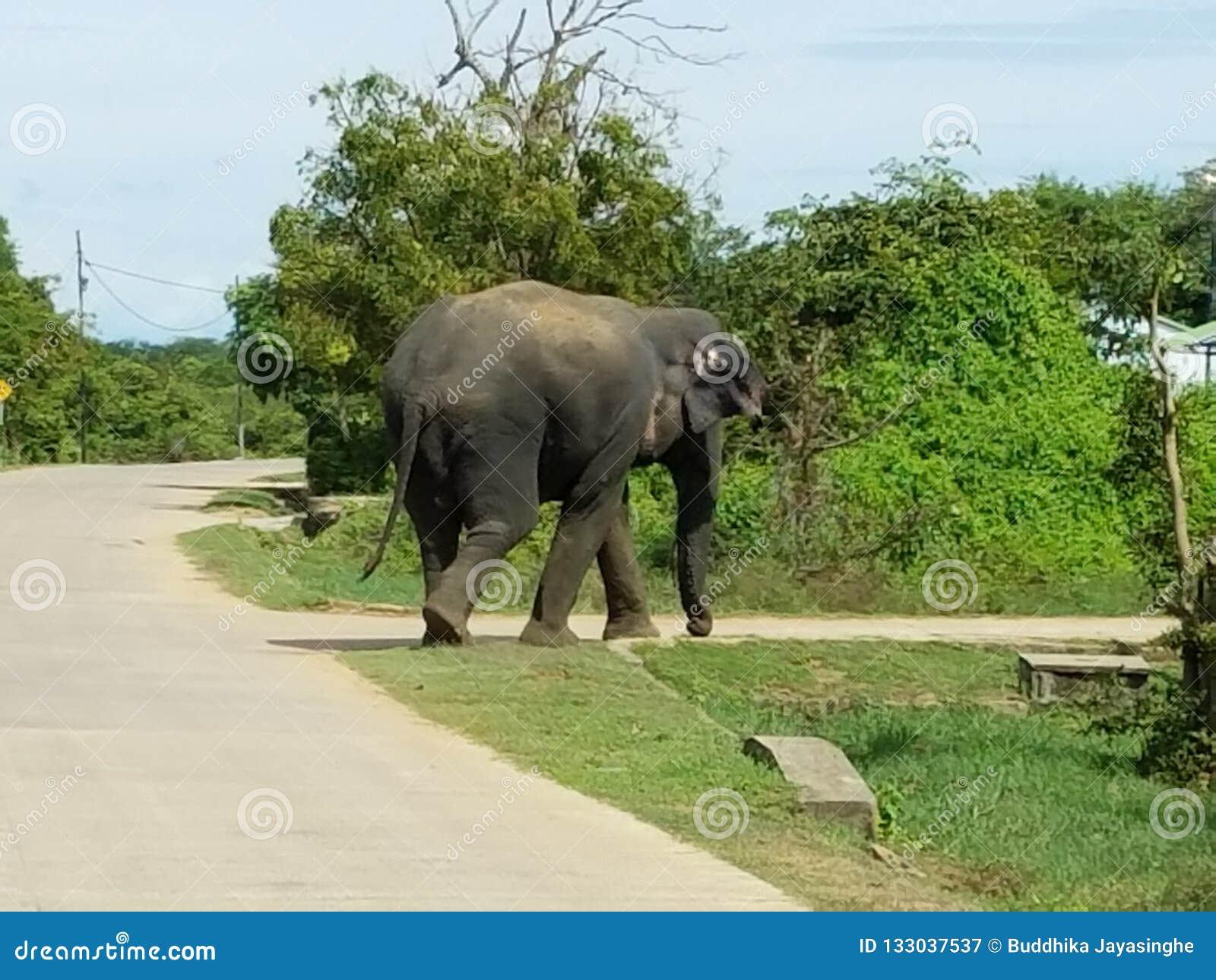 Шриланкийск слон идет через дорогу