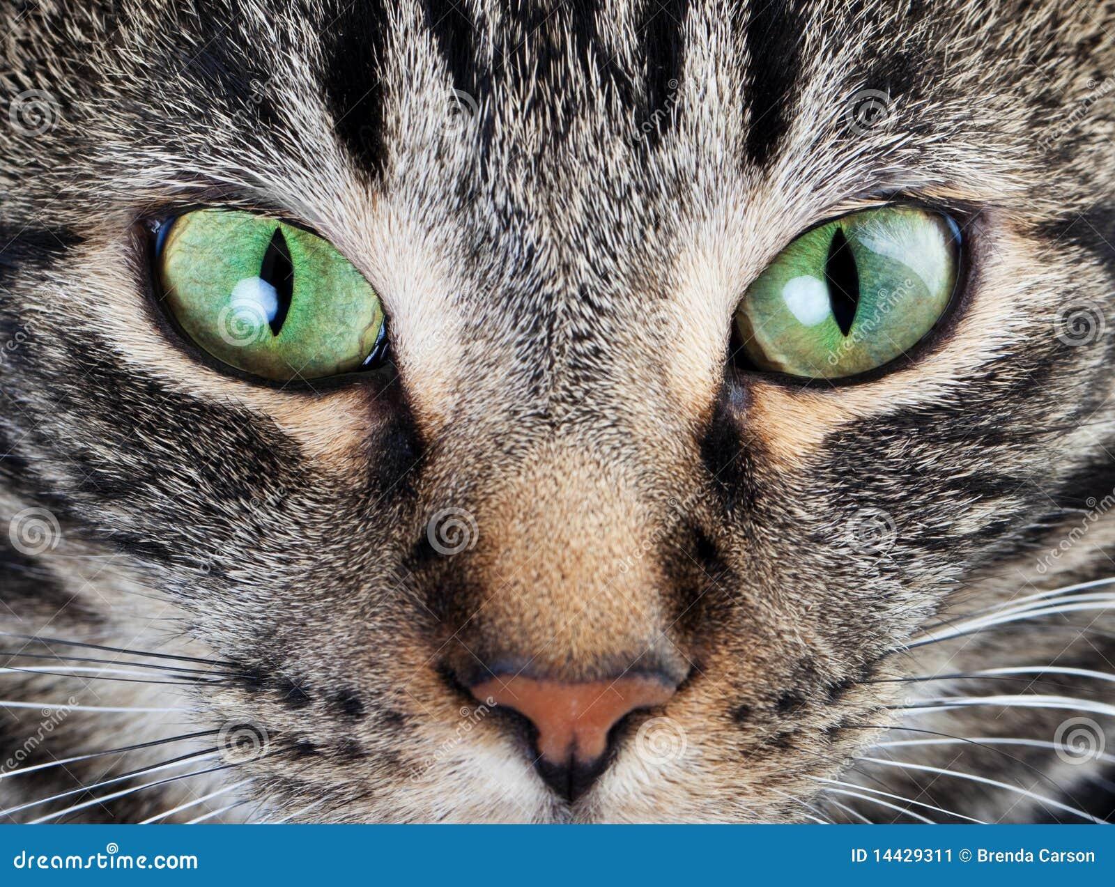 штилевой макрос глаза кота