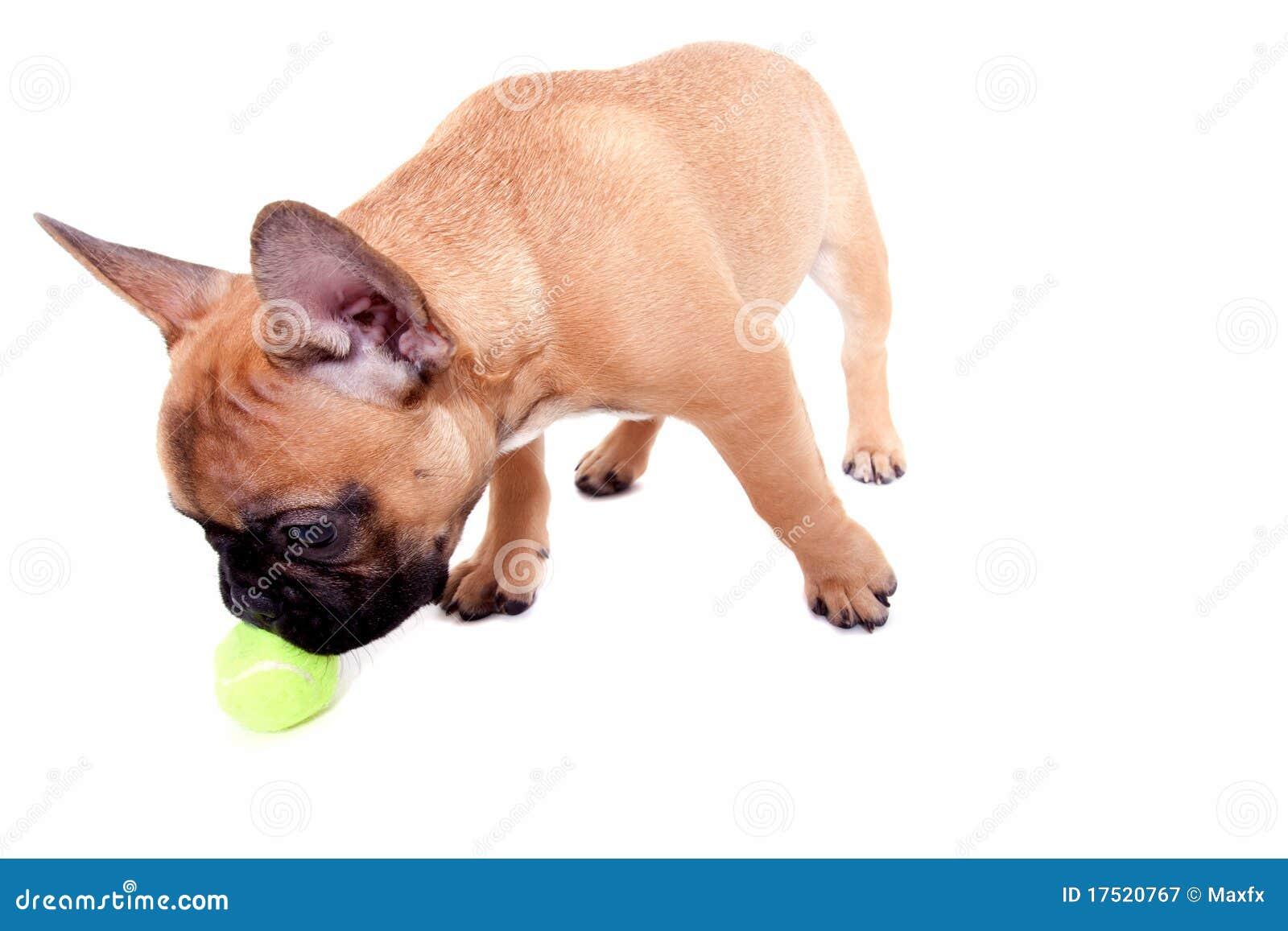 щенок бульдога французский маленький