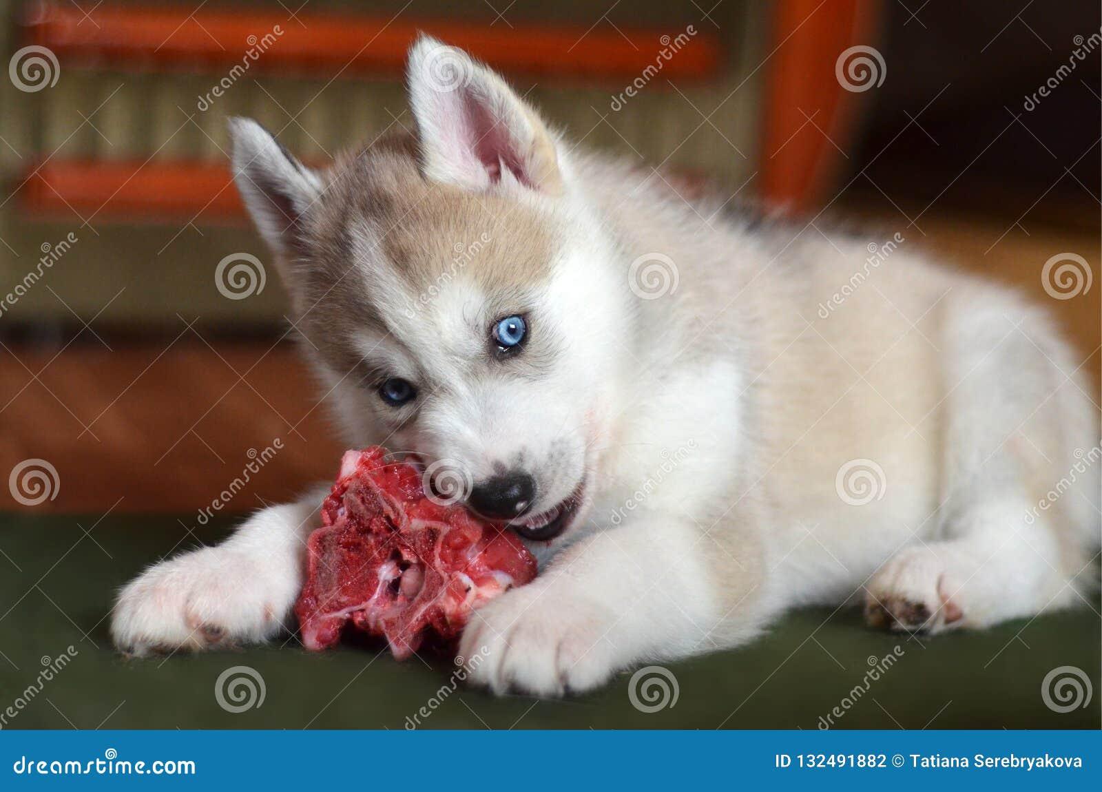 Щенок голубых глазов сиплый есть крупный план косточки свежего мяса внутри помещения