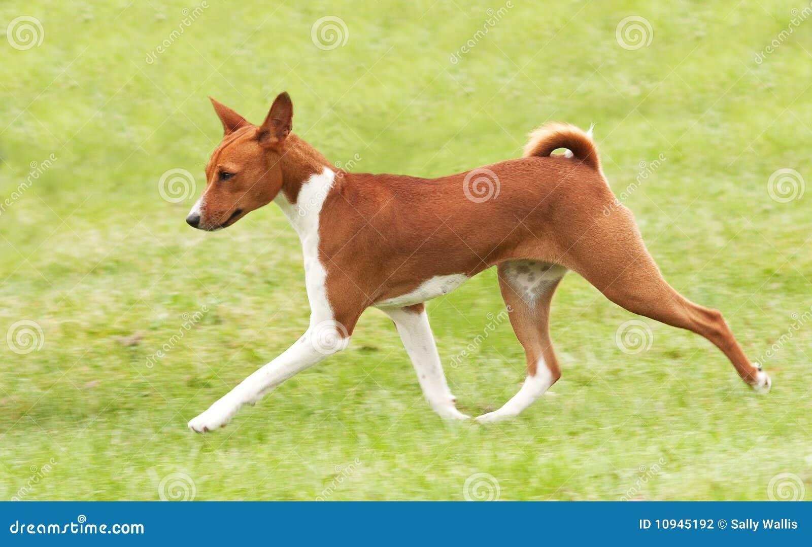 щенок гончей шагая