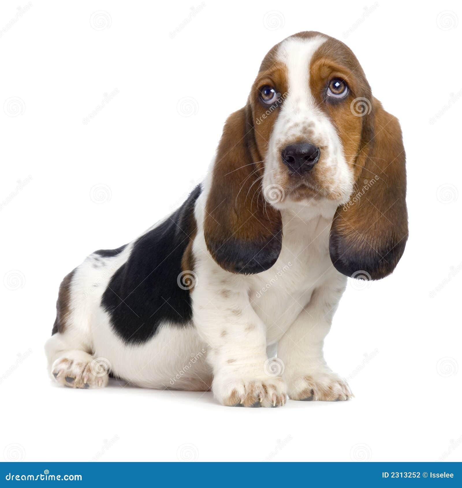 щенок гончей basset