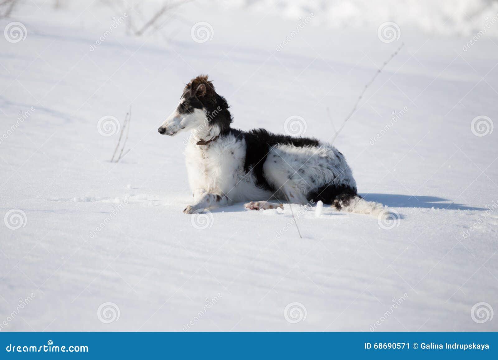 Щенок русской гончей идя в сельскую местность зимы