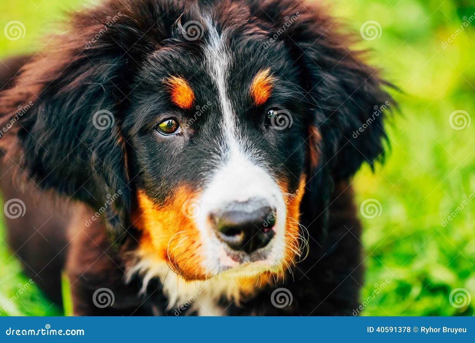 Щенок собаки горы Bernese (Berner Sennenhund)