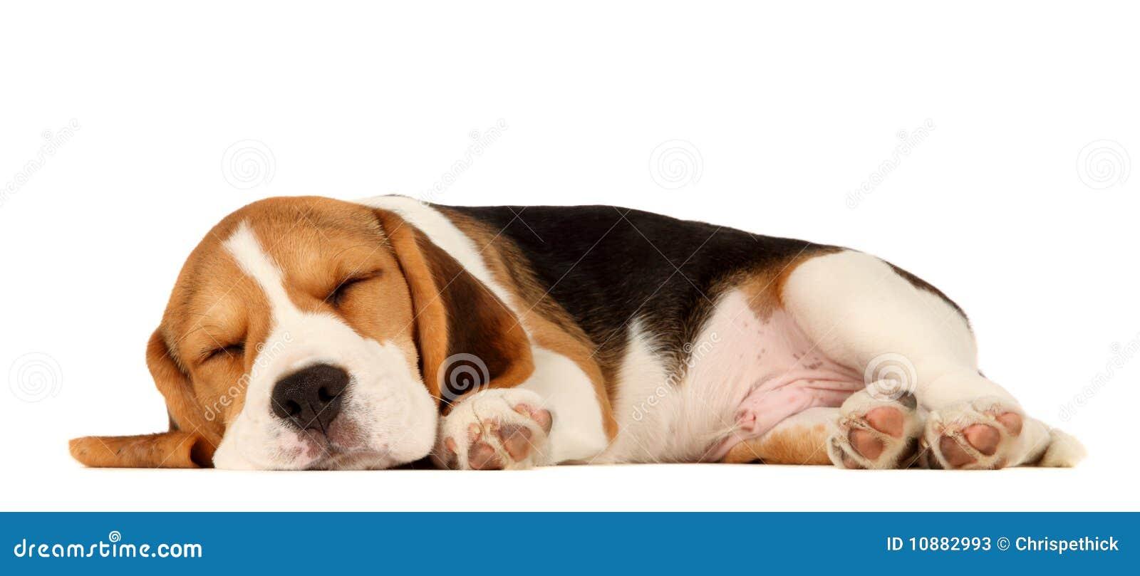 щенок beagle