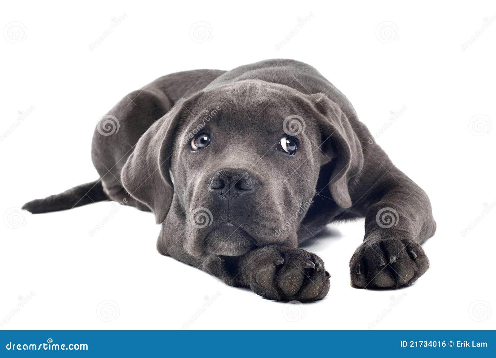 щенок corso тросточки