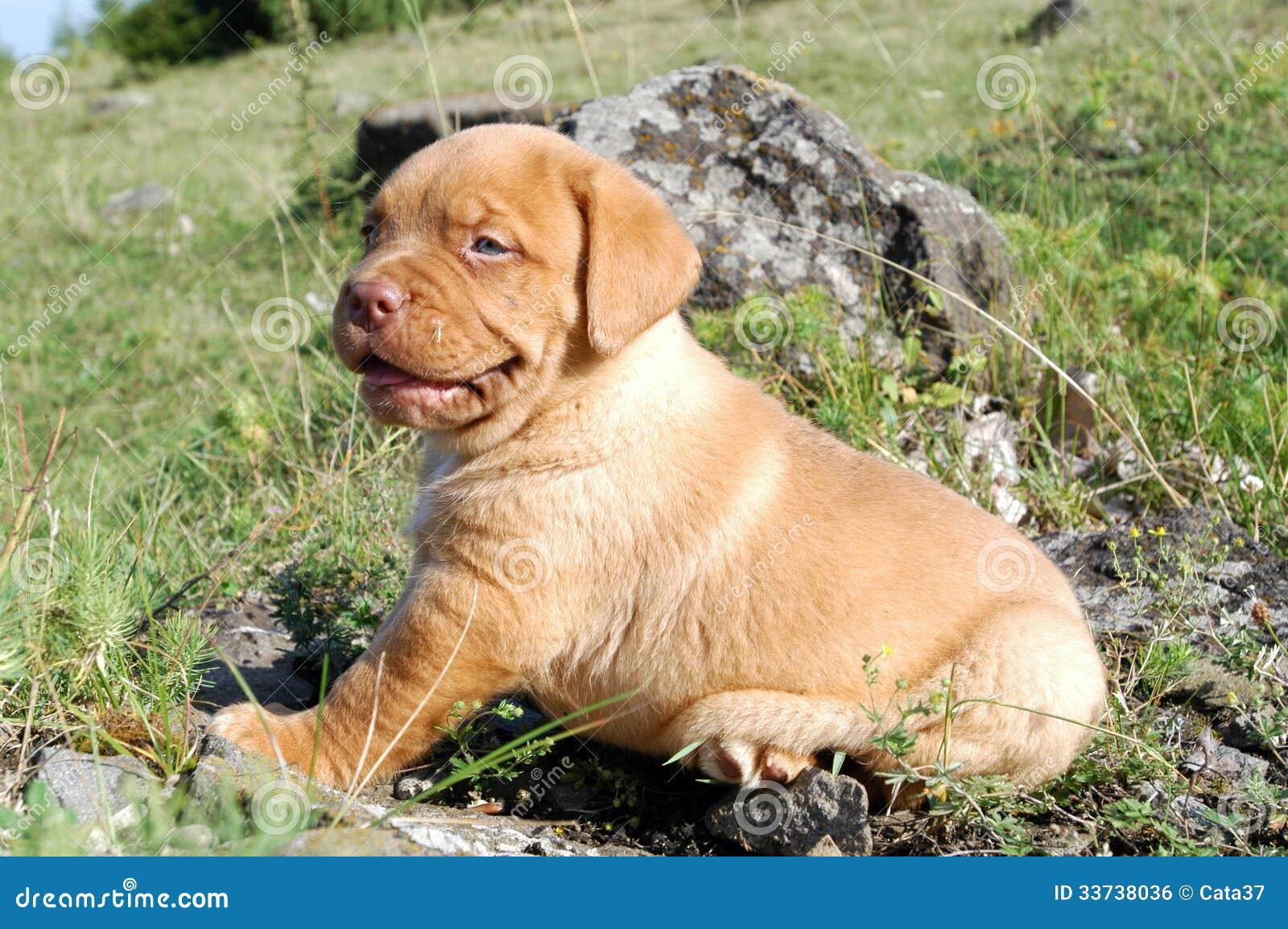 Щенок Dogue de Бордо
