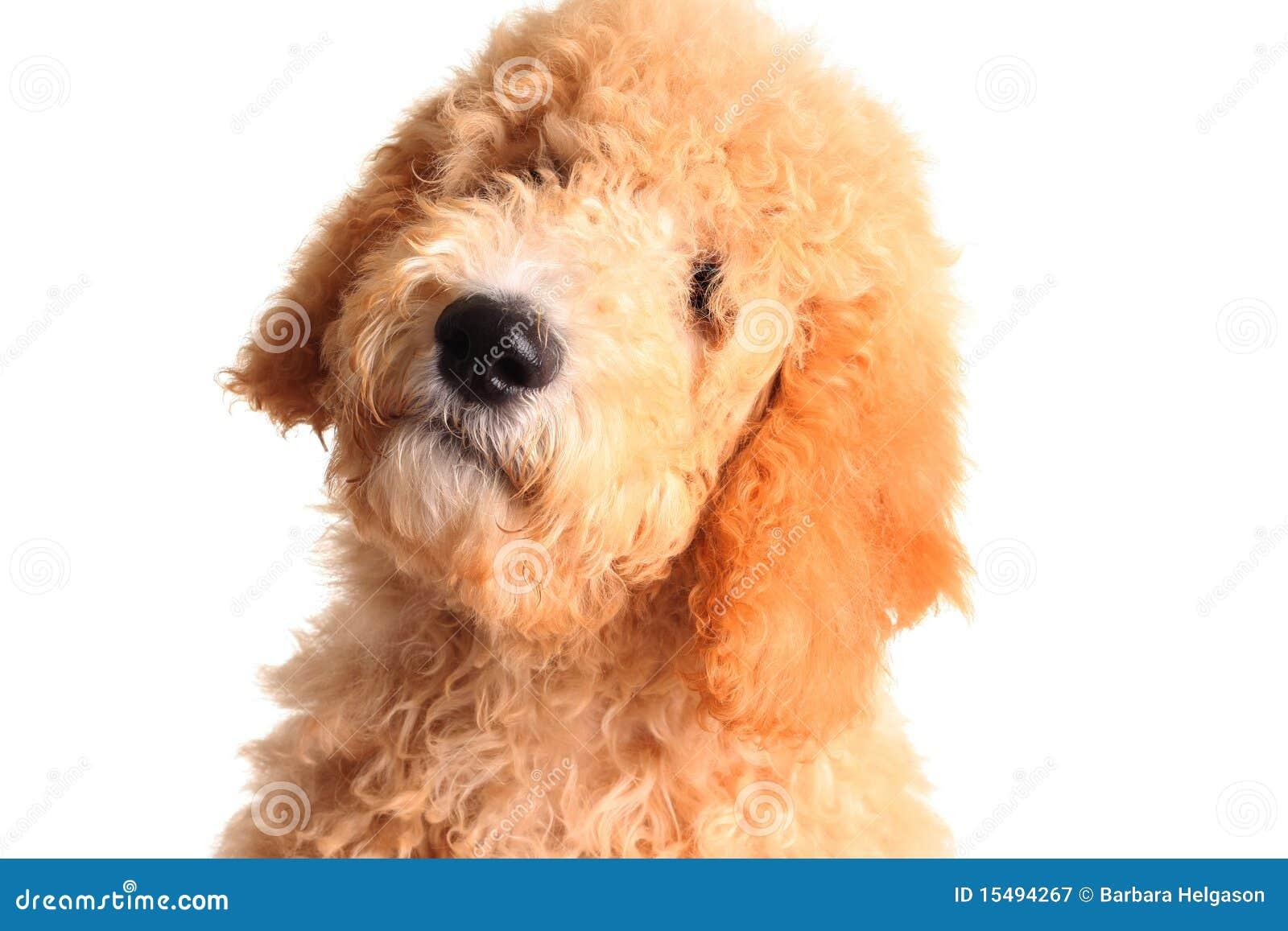 щенок doodle золотистый