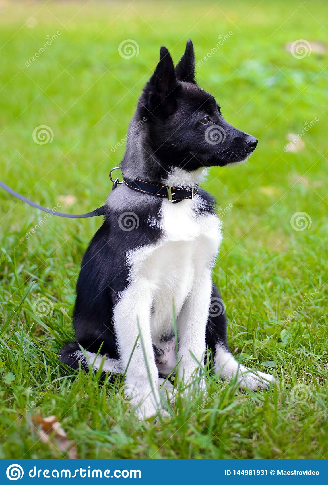 Щенок Laika на траве