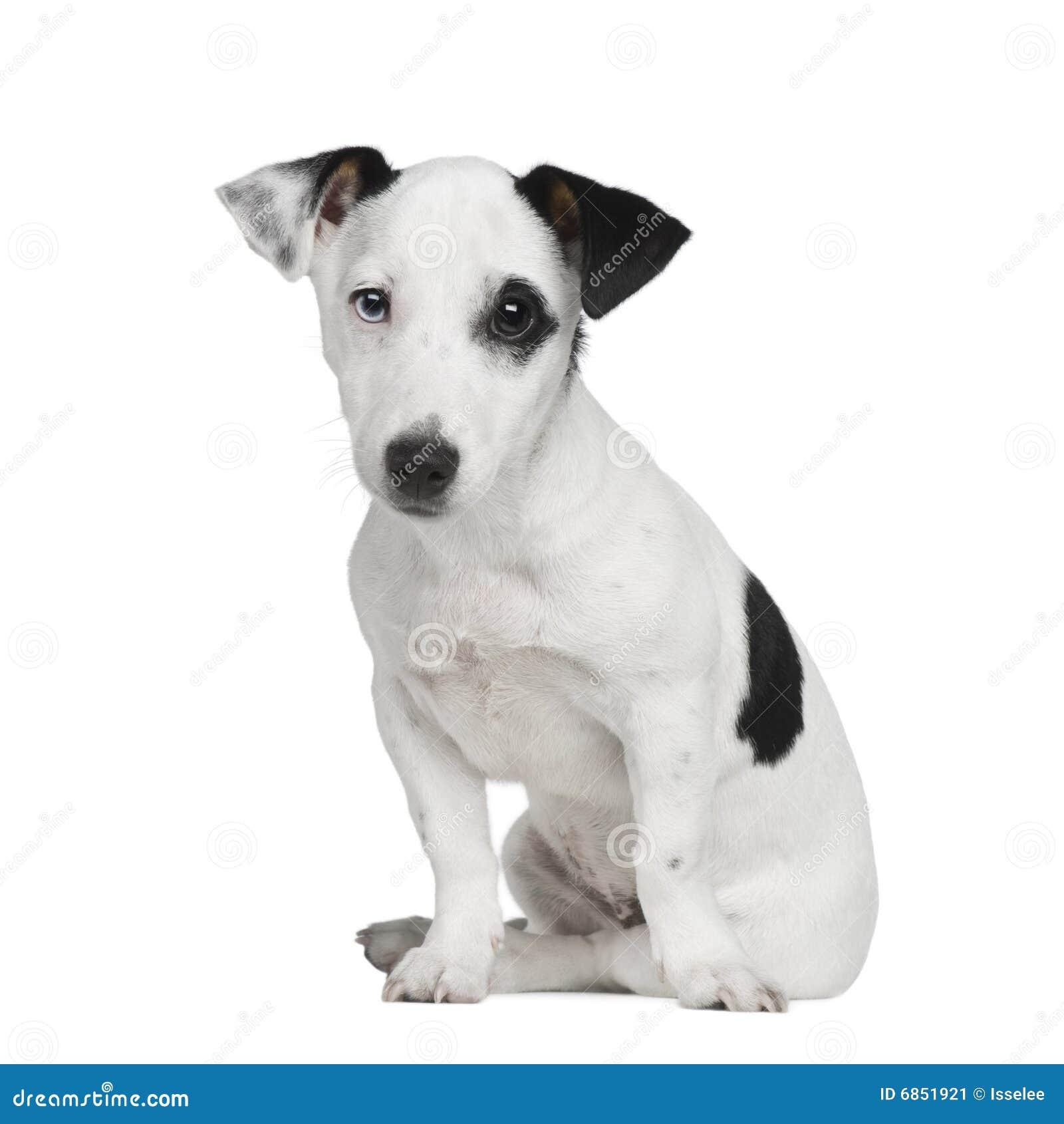 щенок russell 5 месяцев jack