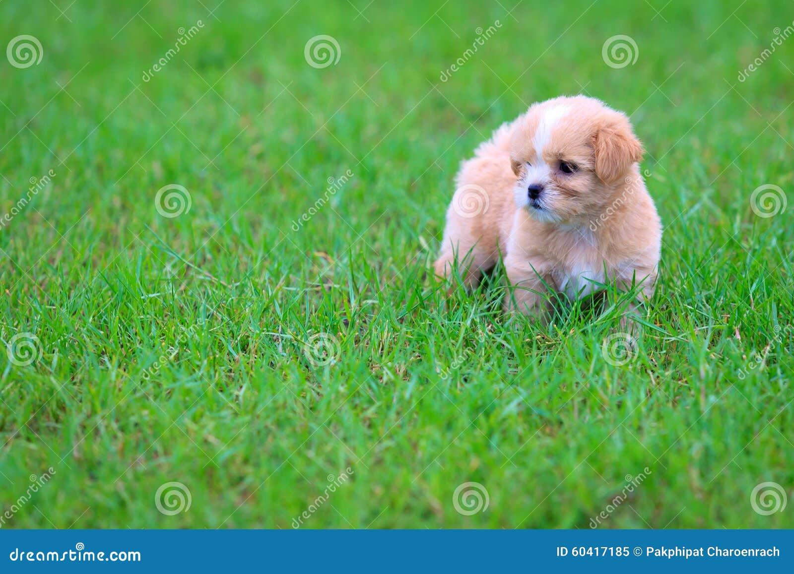 Щенок Shih-tzu в траве