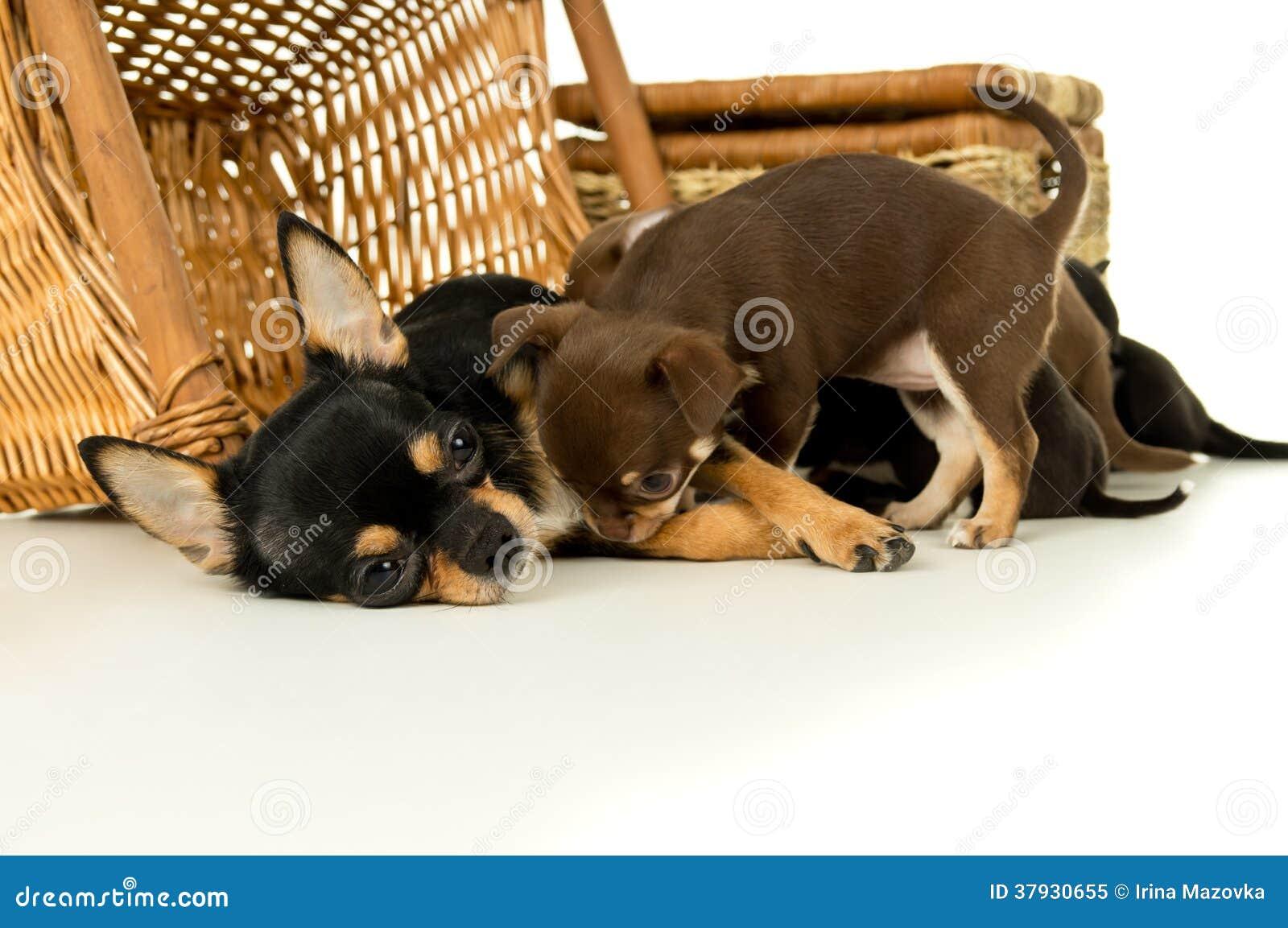 Щенята чихуахуа собаки матери подавая