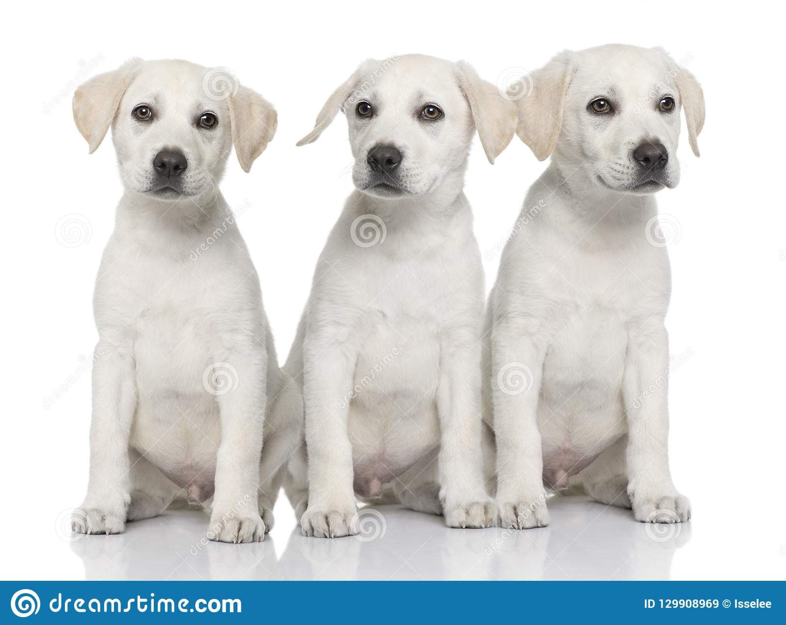 3 щенят retriever Лабрадор сливк