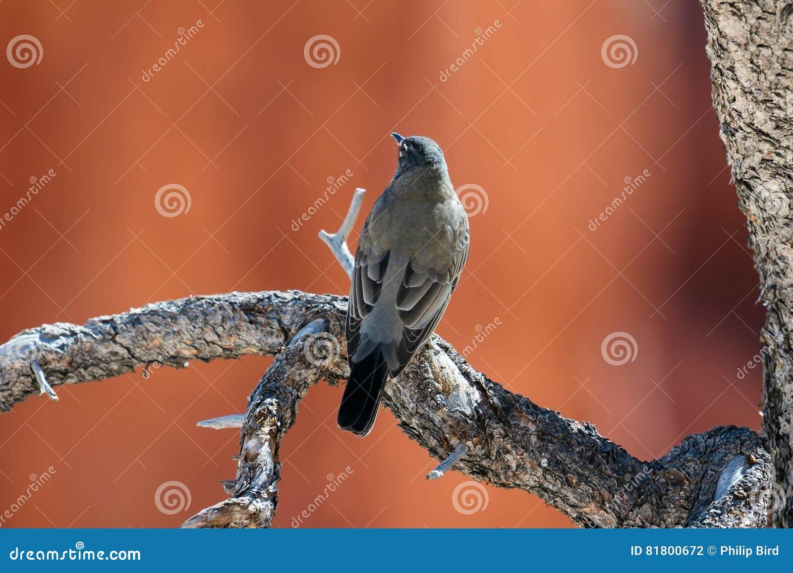 Щелкунчик ` s Clark отдыхая на мертвом дереве