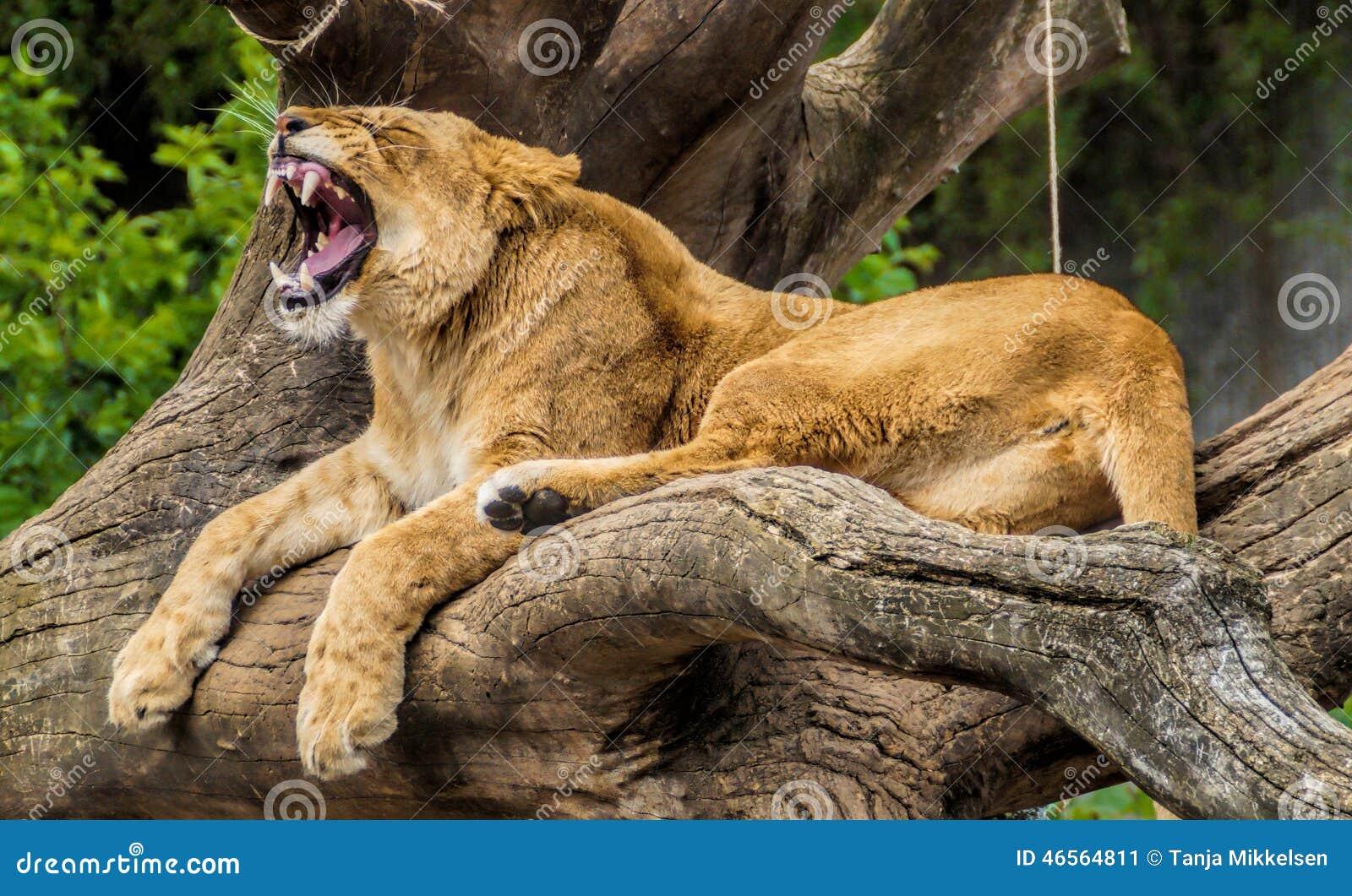 львица показывая зубы