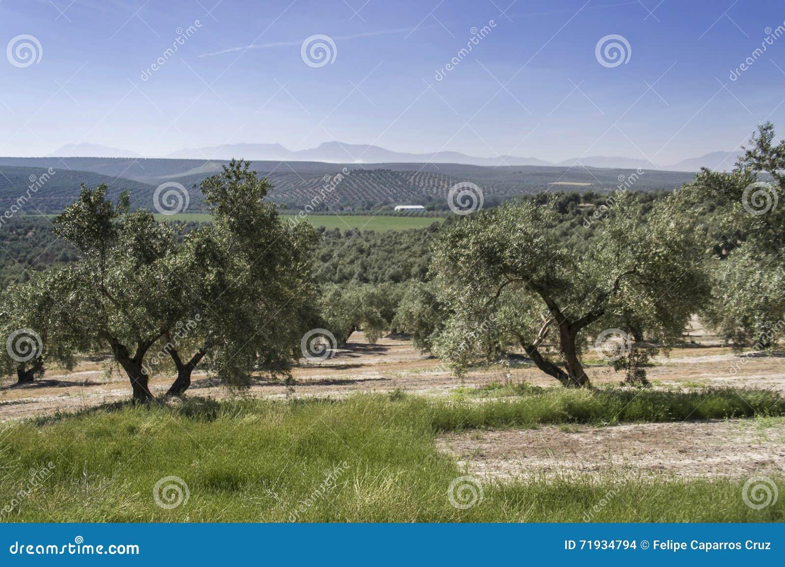 Экологическое культивирование оливковых дерев в провинции Jaen
