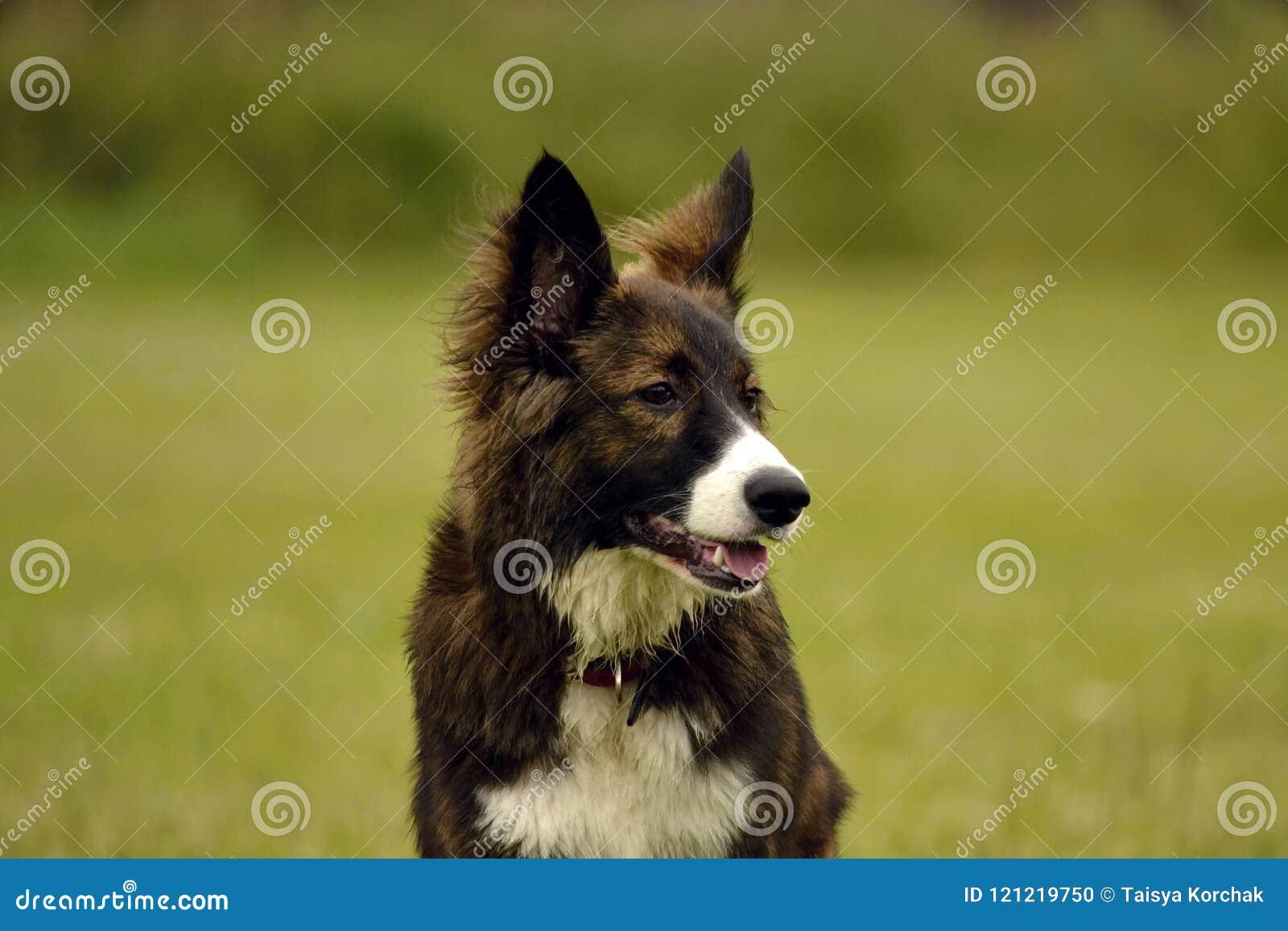Эмоции животных Молодая напористая собака на прогулке Образование щенят, cynology, интенсивная тренировка молодых собак Идя собак