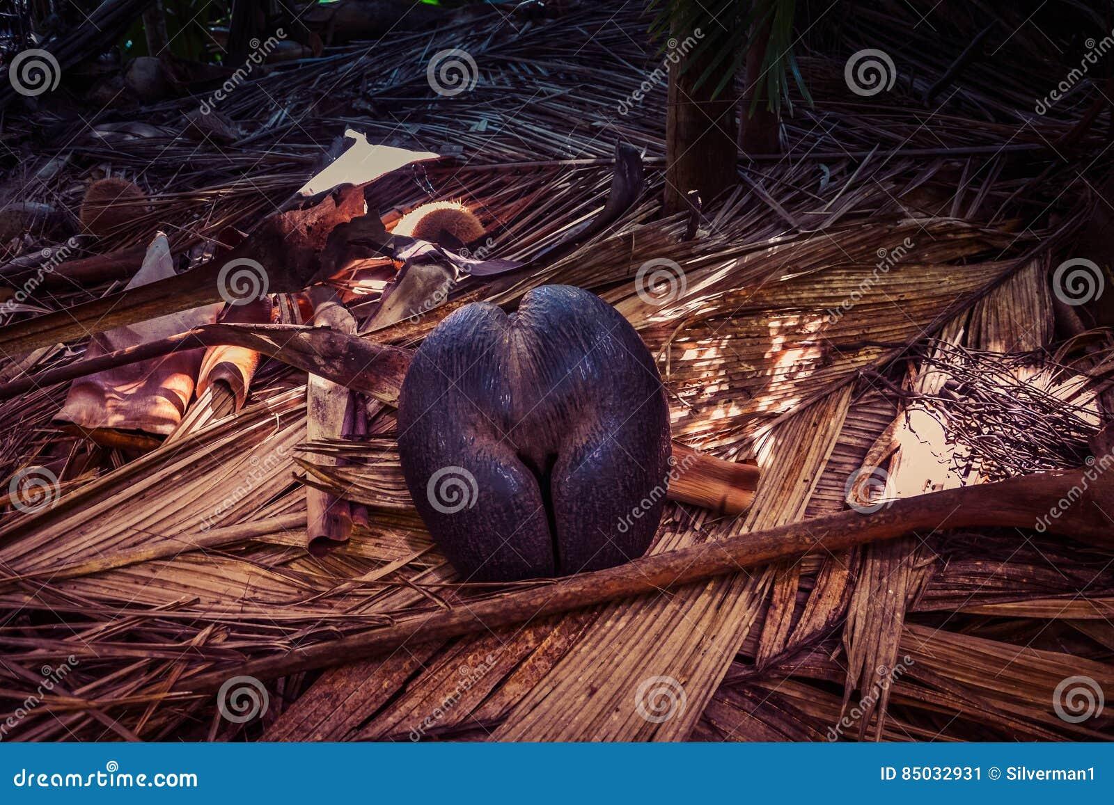 Эндемичный кокос моря кокоса de mer в Сейшельских островах