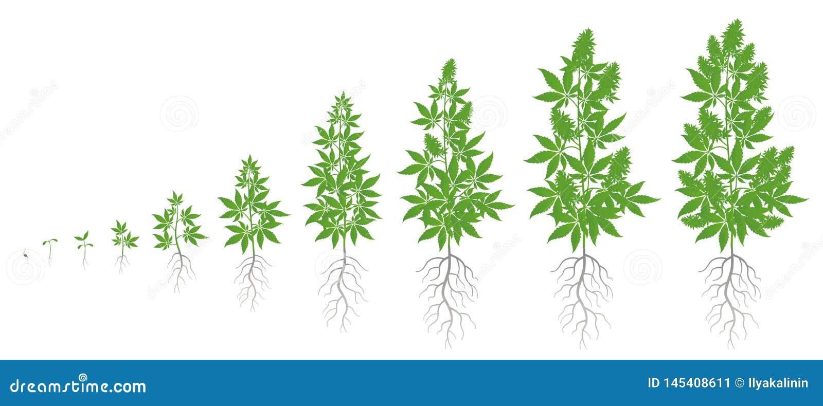 Выращивание конопли этапы зеленый лист конопли