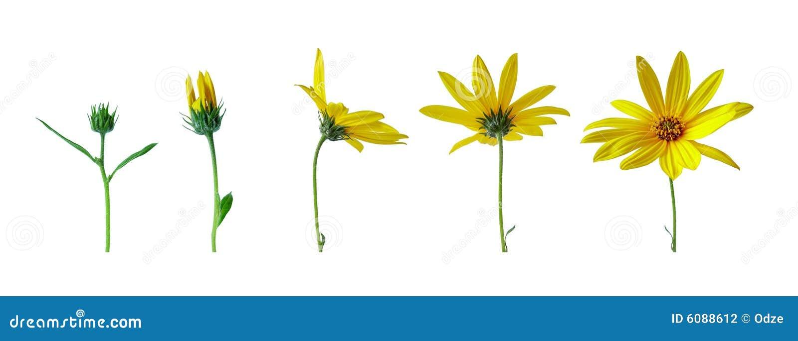 этапы роста цветка