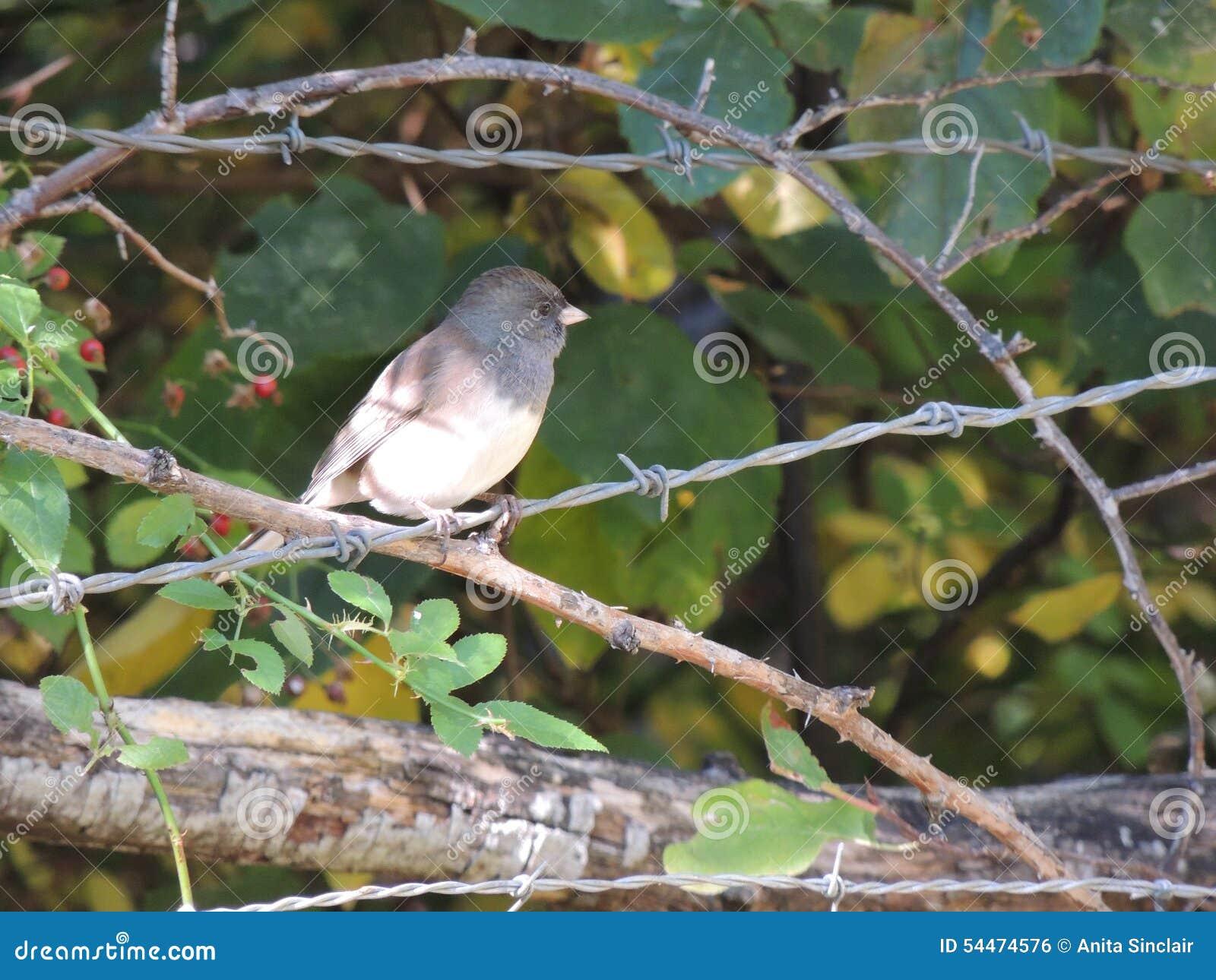 Эта малая птица, Орегон чернить-наблюдала junco, окуни на загородке колючей проволоки